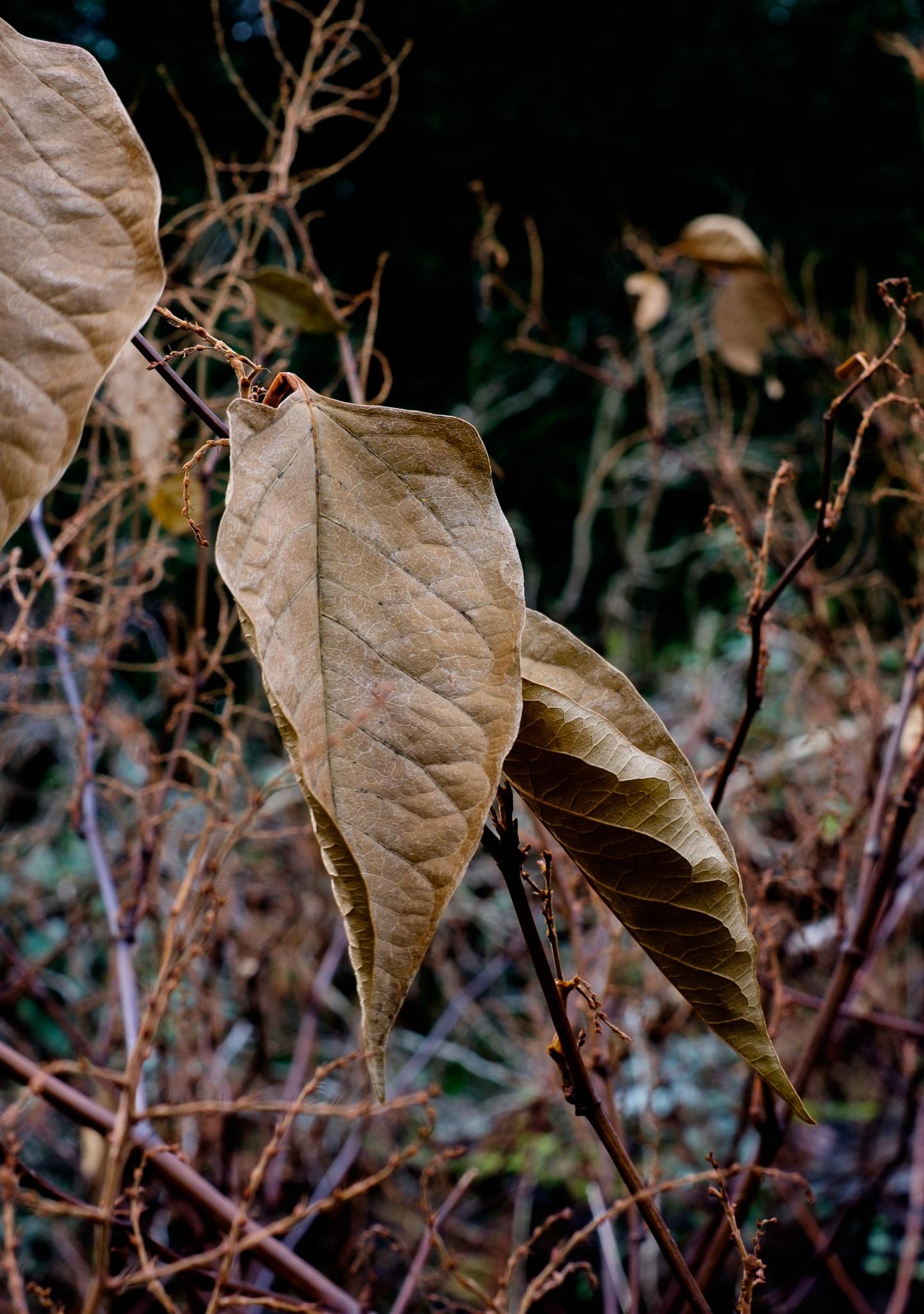 Dry Leaves by Gra'M