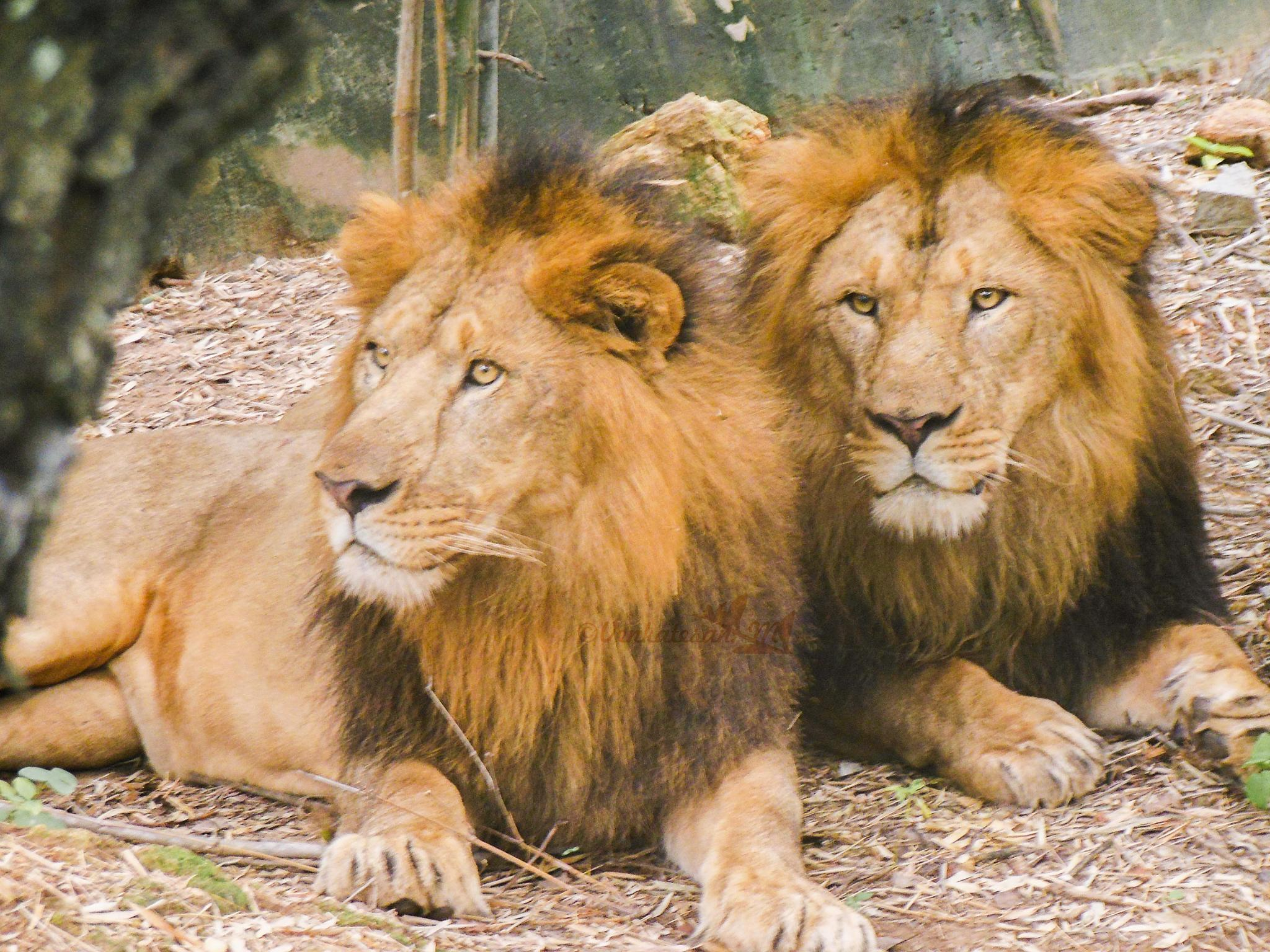 Lions by Sathyavenkat