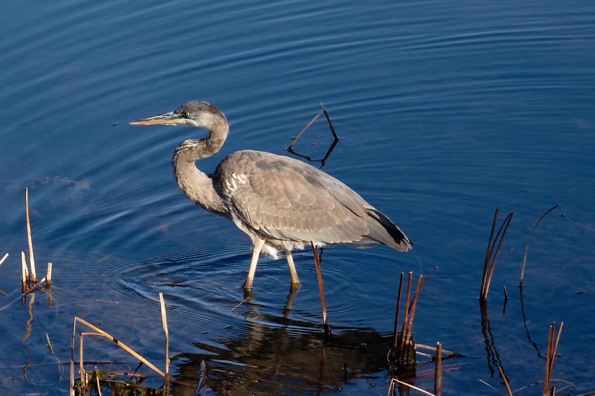 great blue heron  by awish2c
