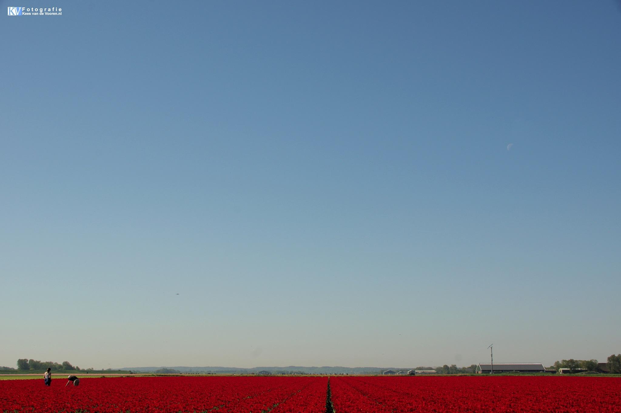 Red Bulb fields by Kees van de  Vooren