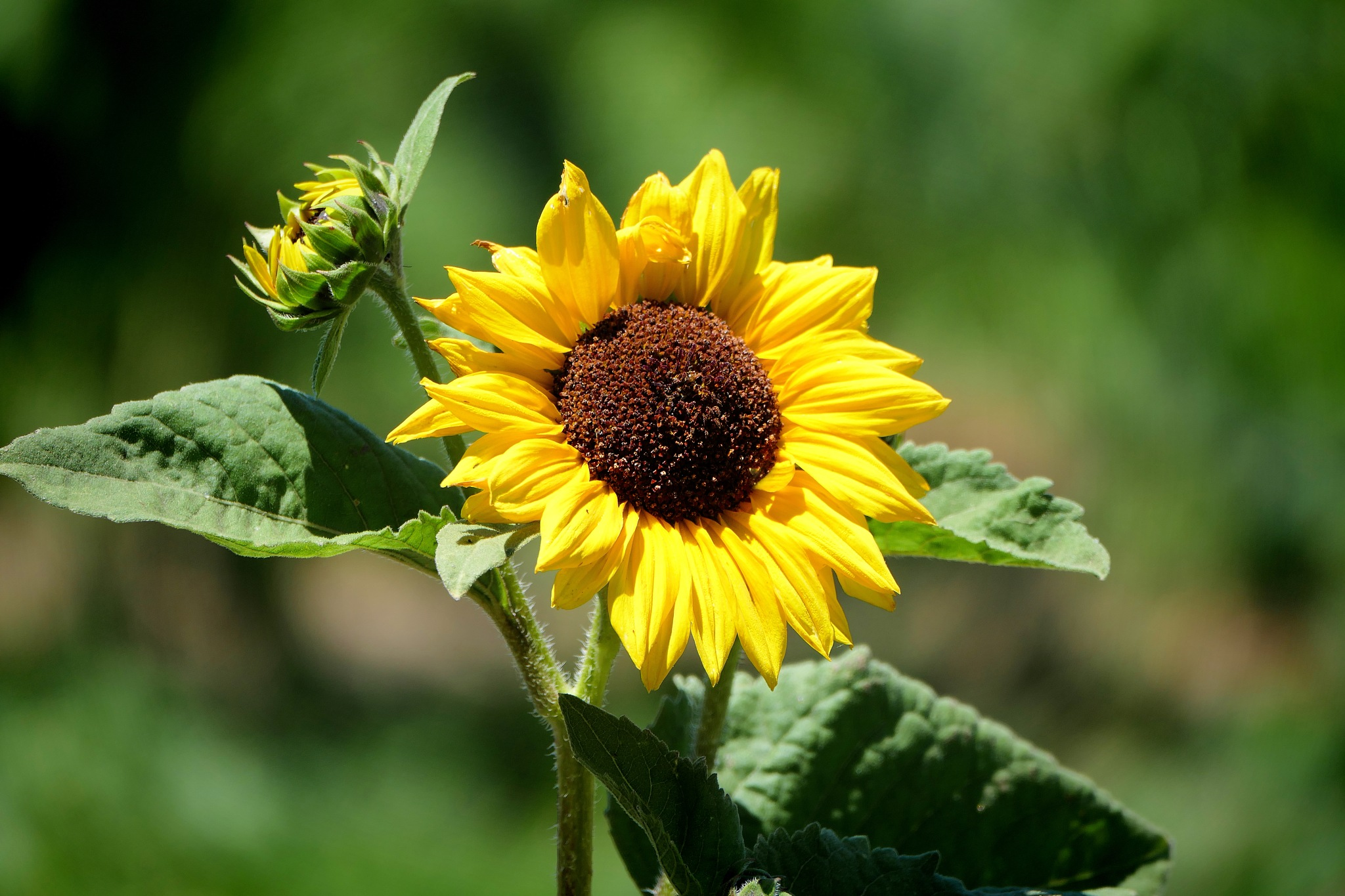 Sunflower by Thinduck