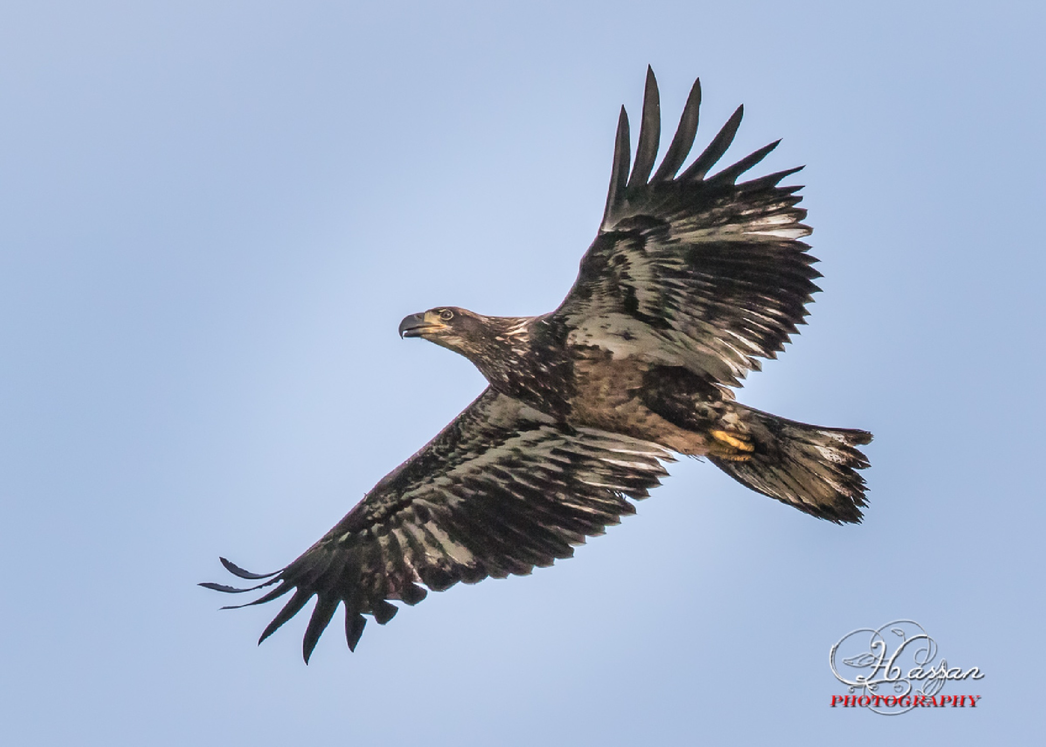 Eagle by HassanMalekzadeh