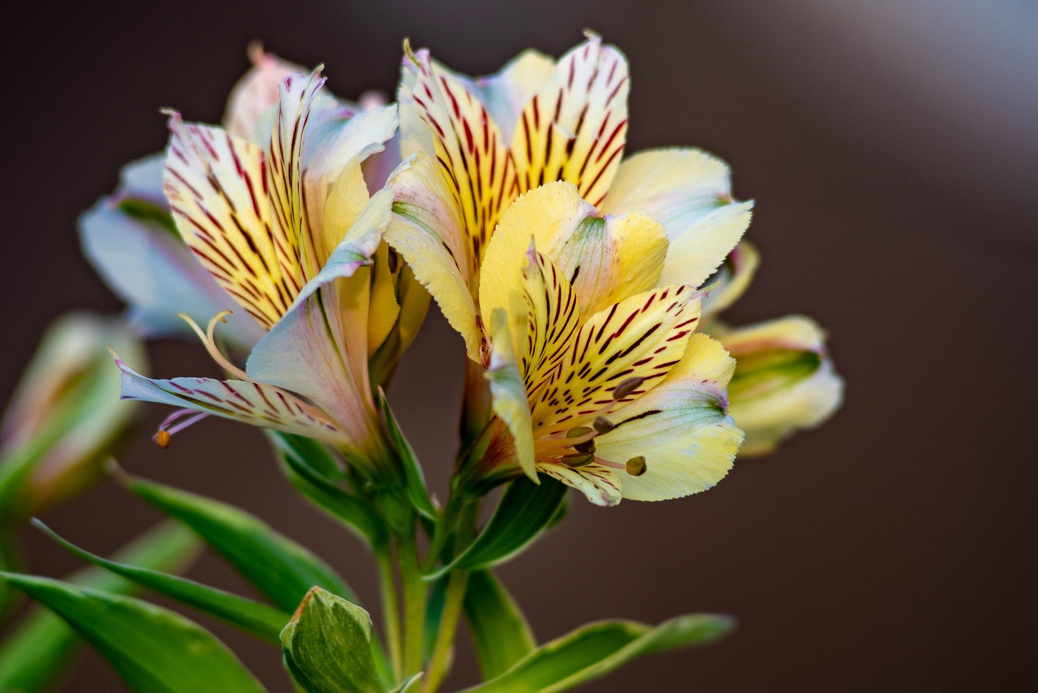 Peruvian lilies petals by Sándor Dombora
