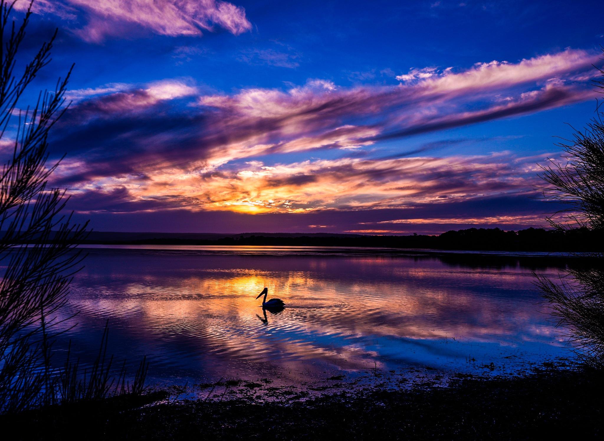 Jonathon Livingston Pelican by Trevor McKinnon