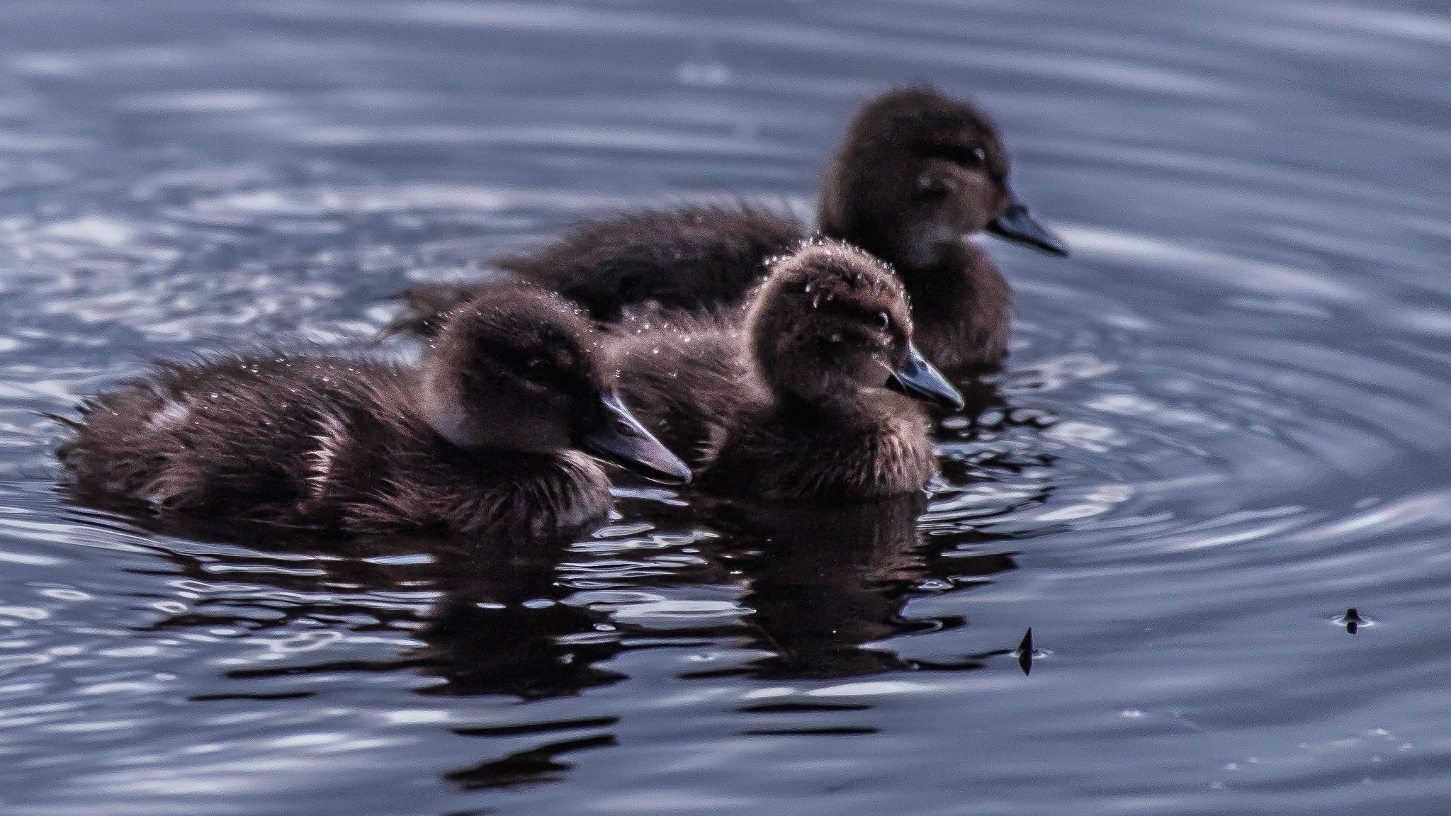 A day for Ducks by Trevor McKinnon