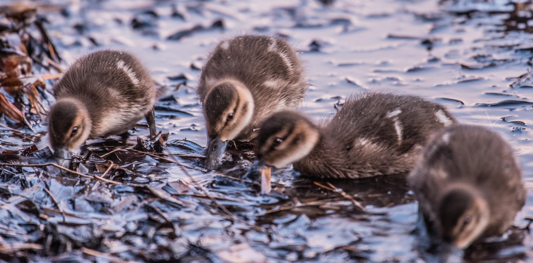 A day for Ducks 2 by Trevor McKinnon