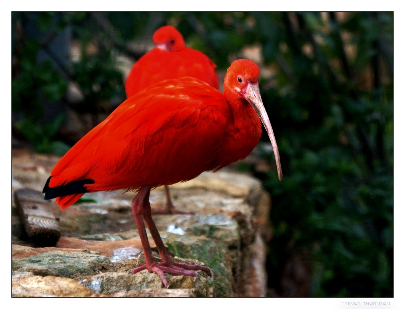 Scarlet Ibis by tpthornton