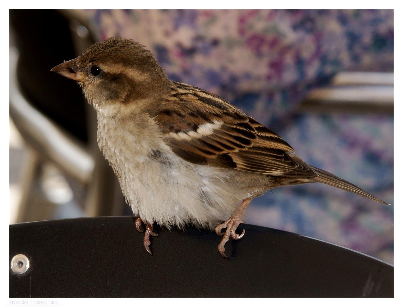 Venice sparrow by tpthornton