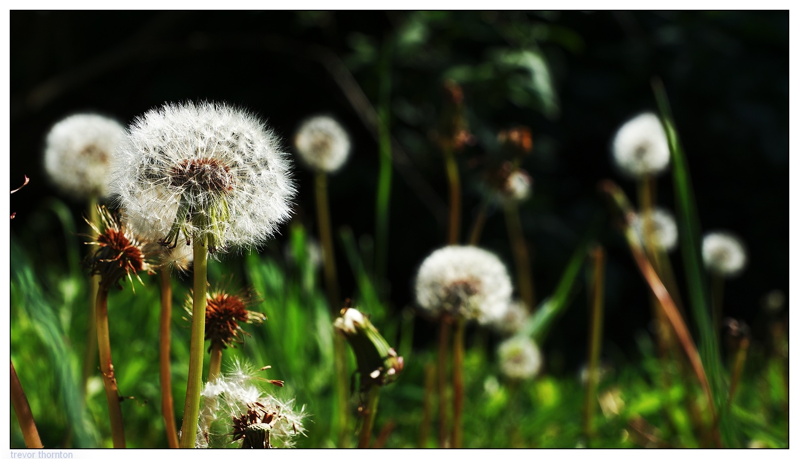 Dandelions by tpthornton