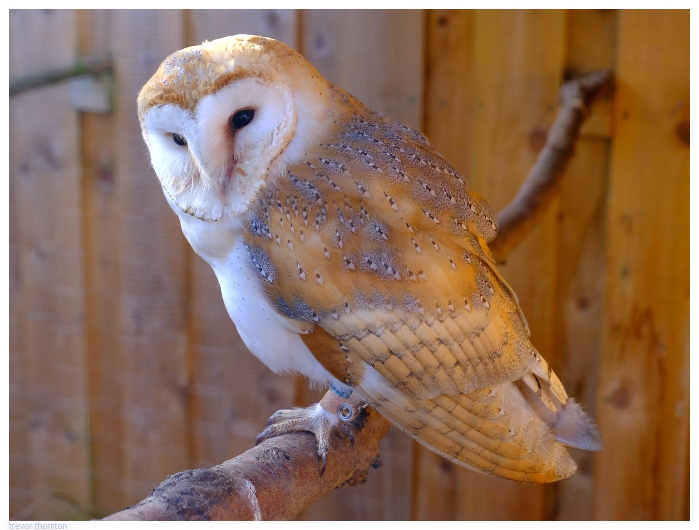 Barn Owl by tpthornton