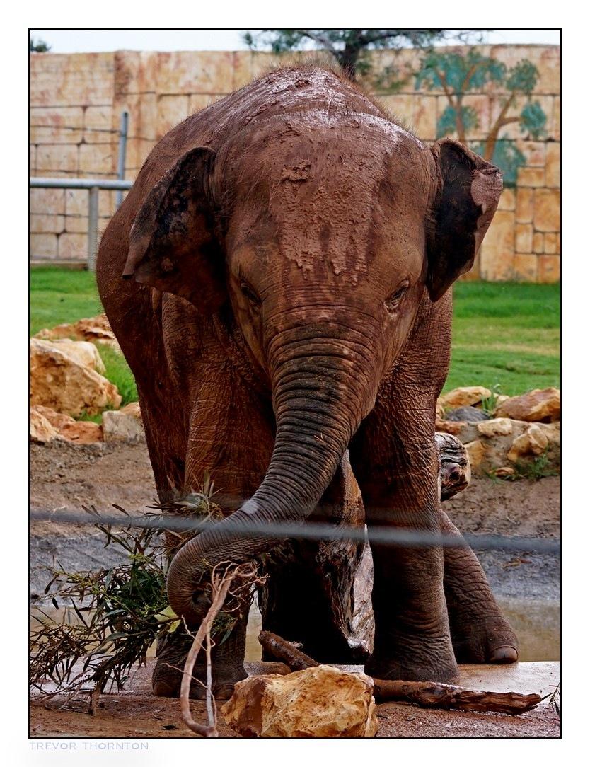 Elephant at work by tpthornton