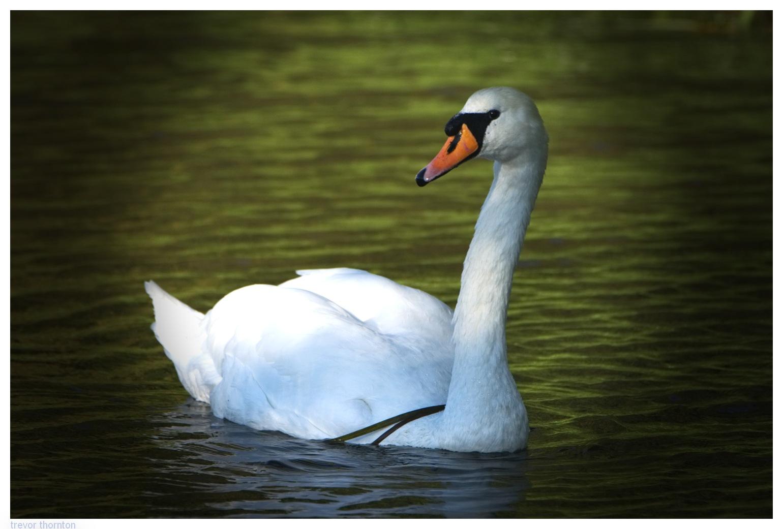 Swan by tpthornton