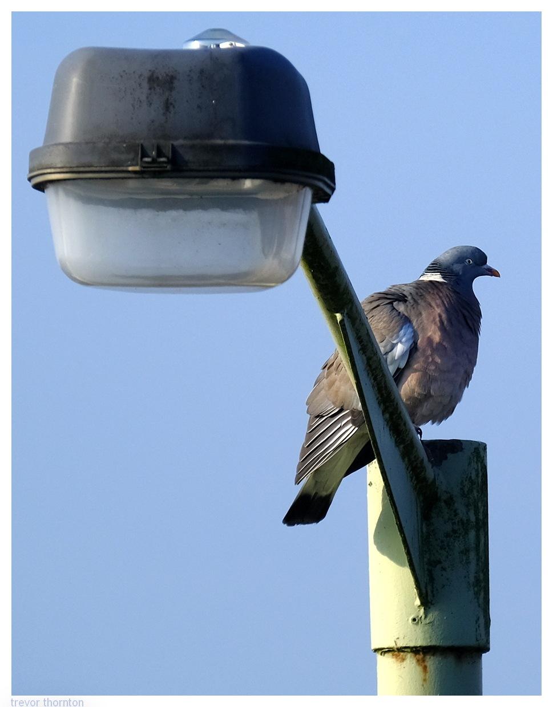 Photo in Random #bird #wood pigeon #staffordshire