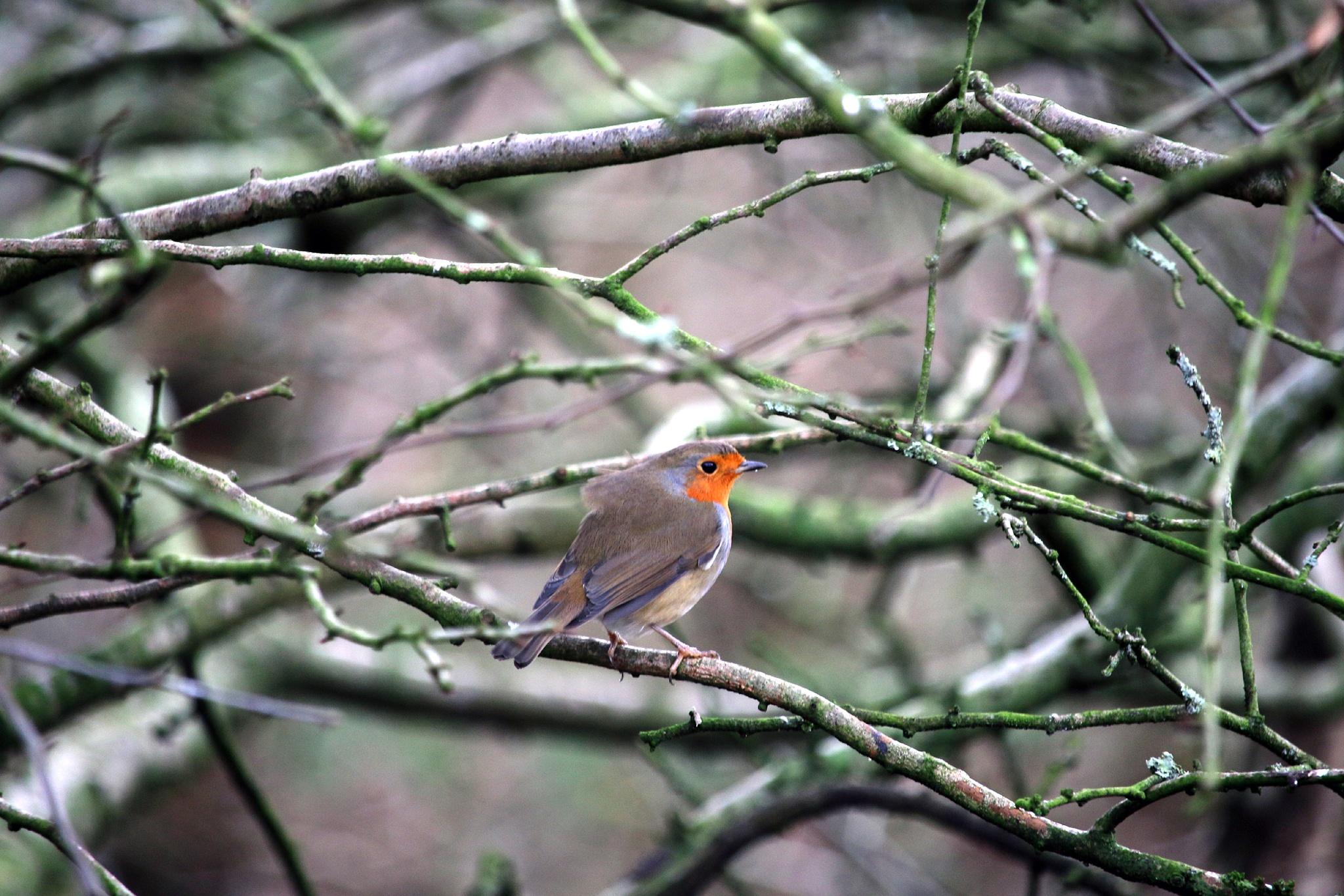 European Robin by Mark Egdell