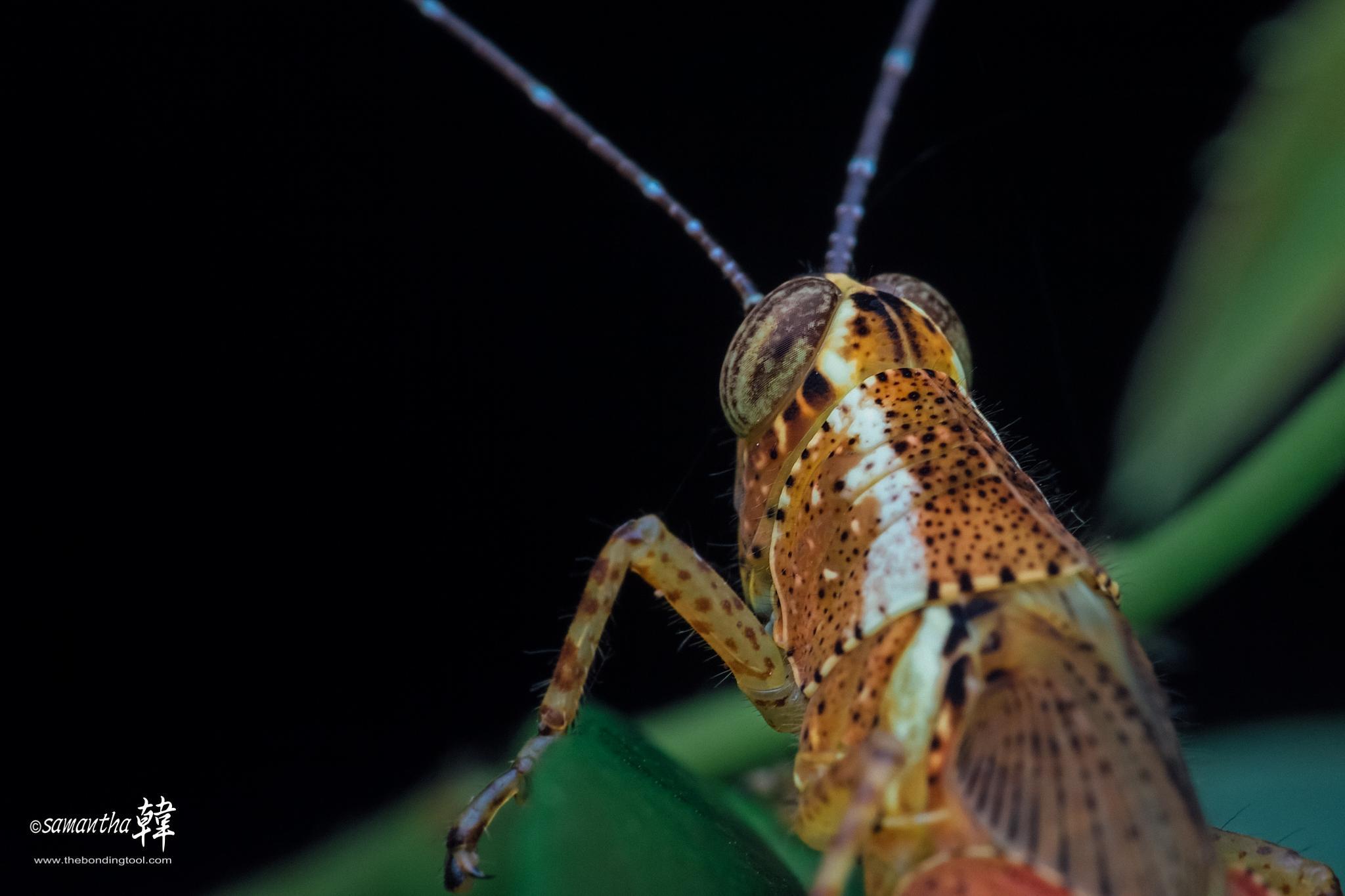 Grasshopper (50 shades of gold) by samanthaHAN