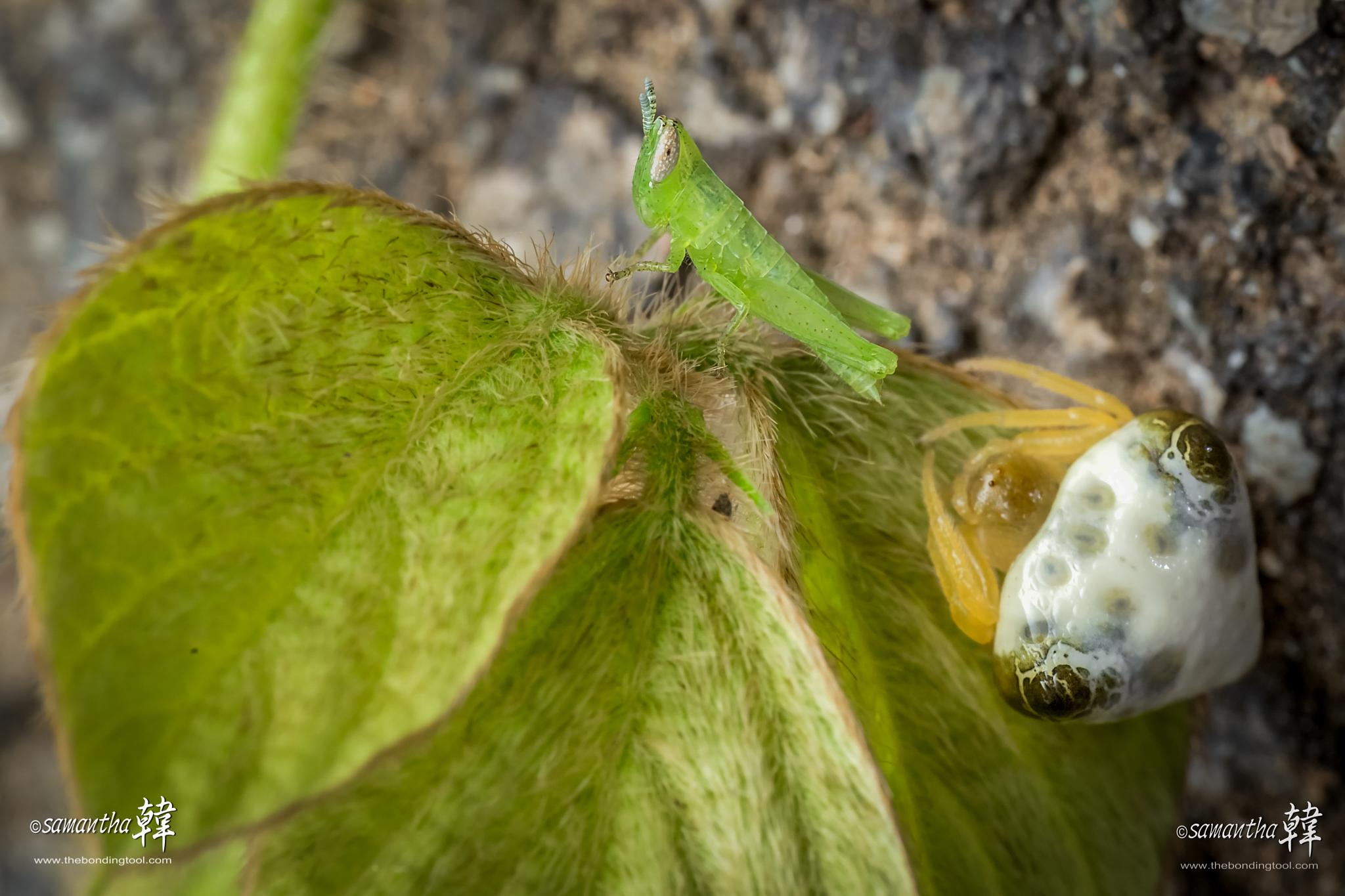 Grasshopper with Spider by samanthaHAN