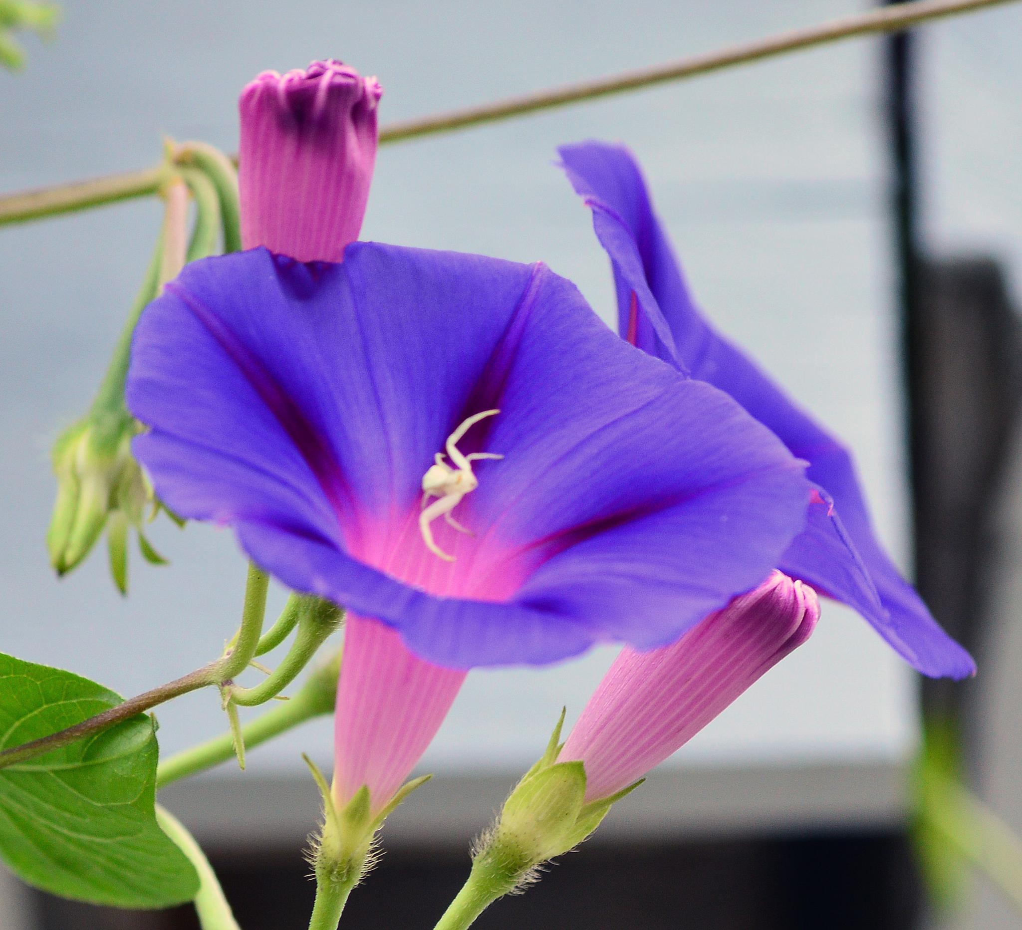 Visitor to the Morning Glory by Sharon Ings-Streeting