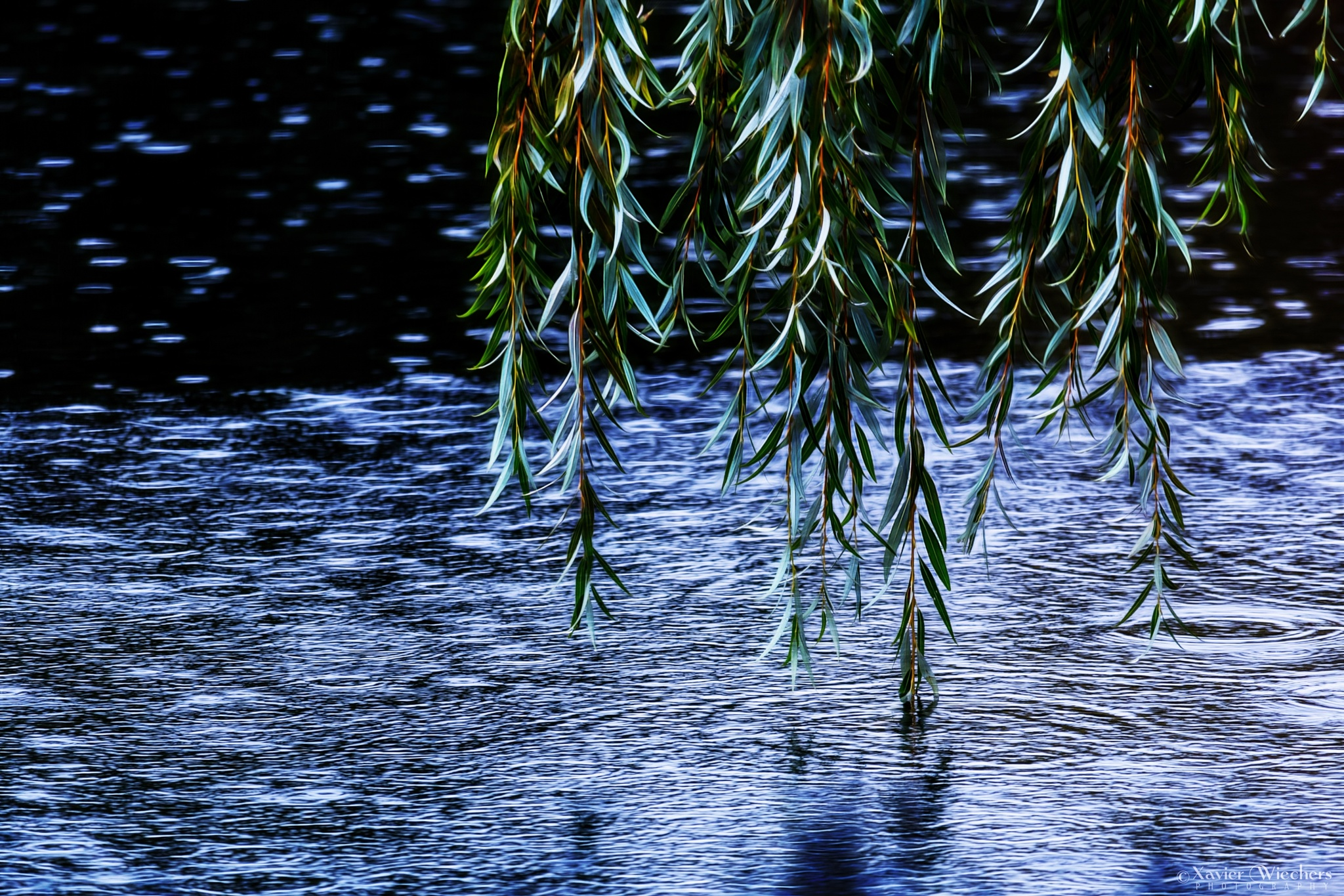 VanDusen Weeping Willow Tree and Water by xwiechers