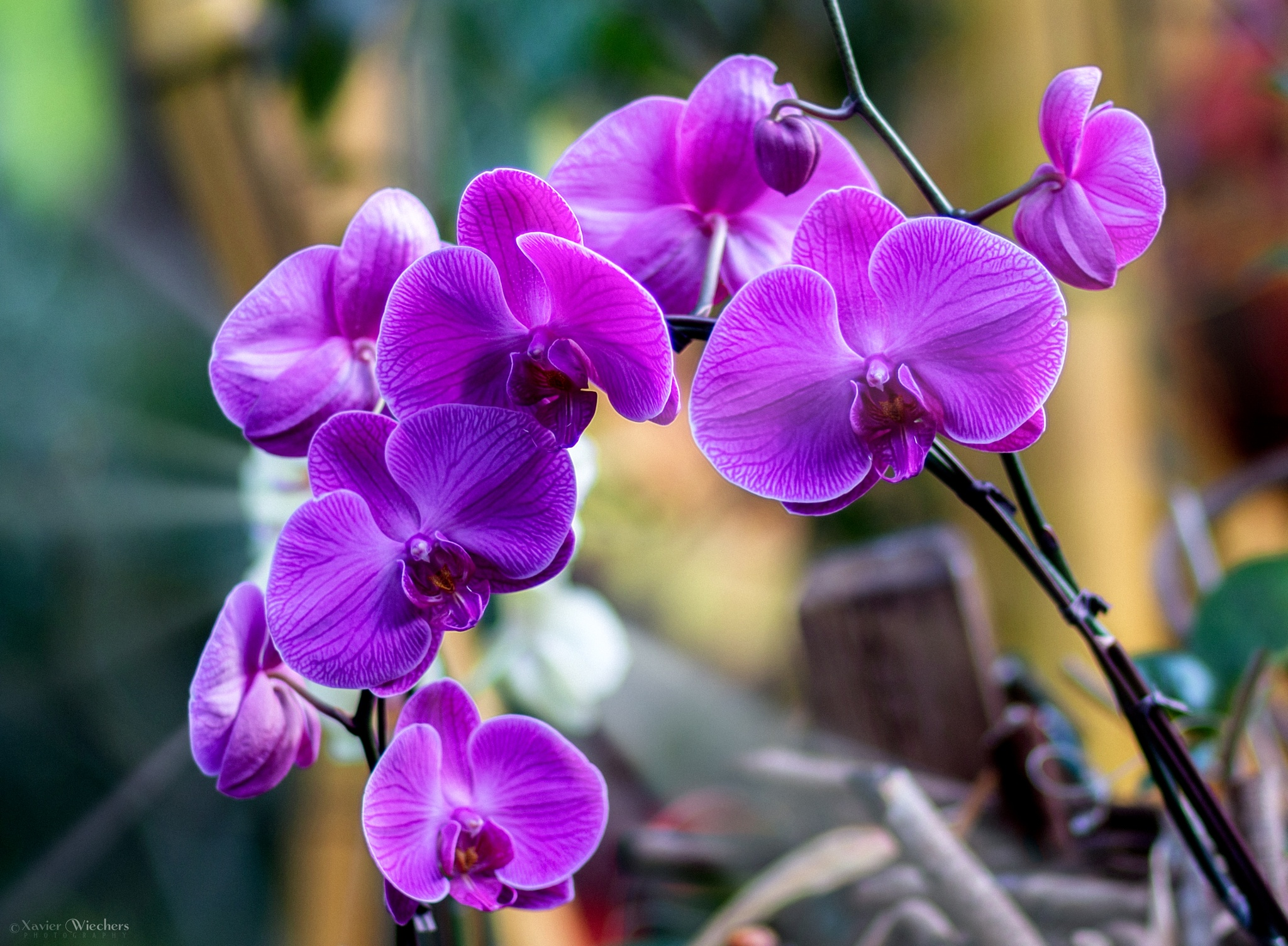 Phalaenopsis and Rays by xwiechers