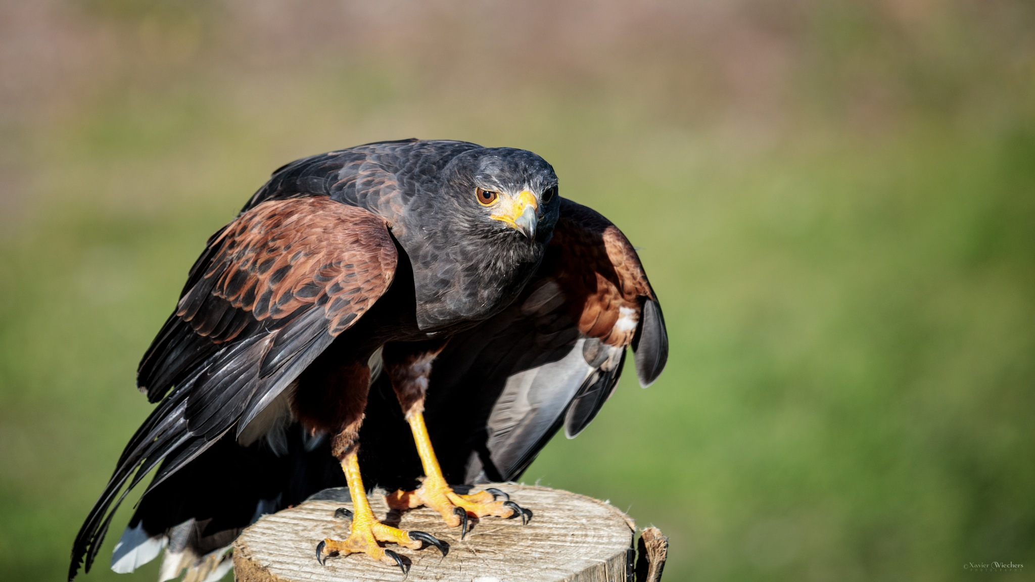 Grouse Mountain Hawk I by xwiechers