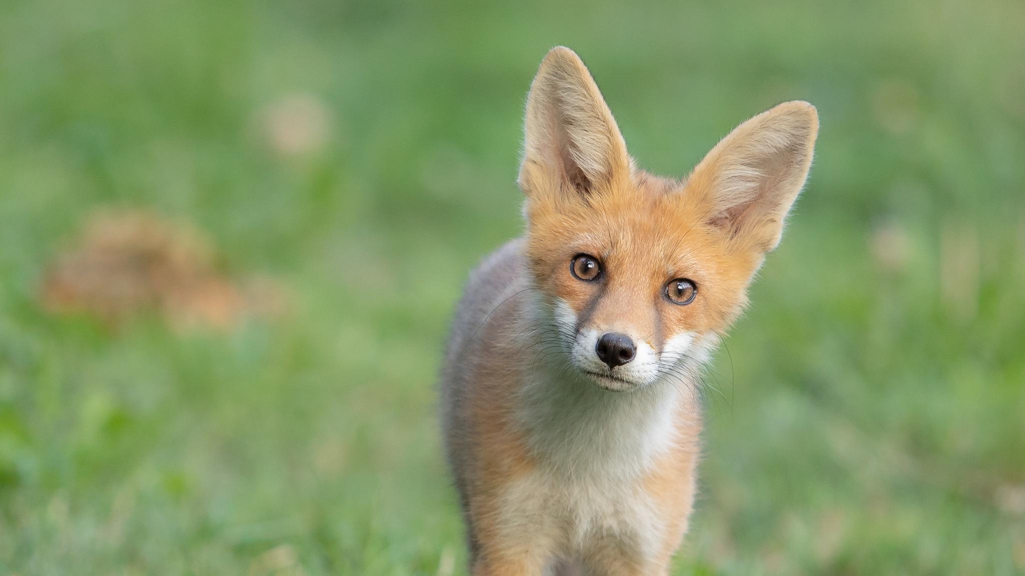 Young Fox by Peter Grischott