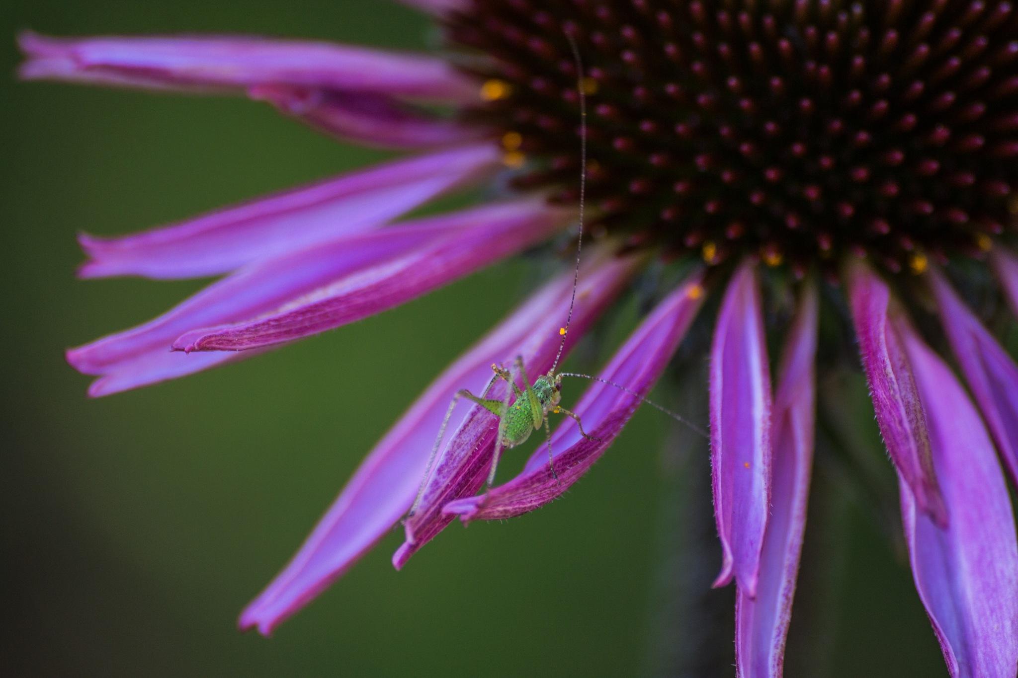 Grasshopper by Asma Ahmed