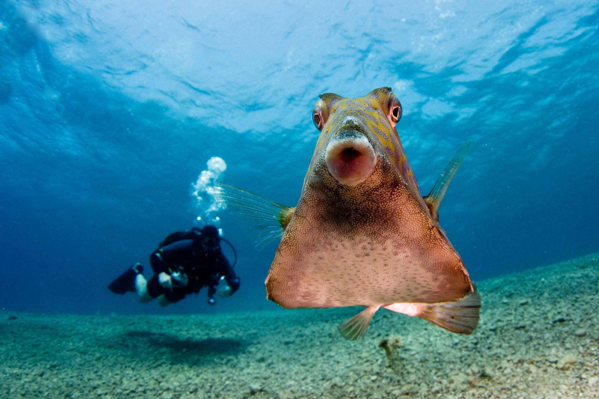 Trunk fish and a diver by Ilan Ben Tov