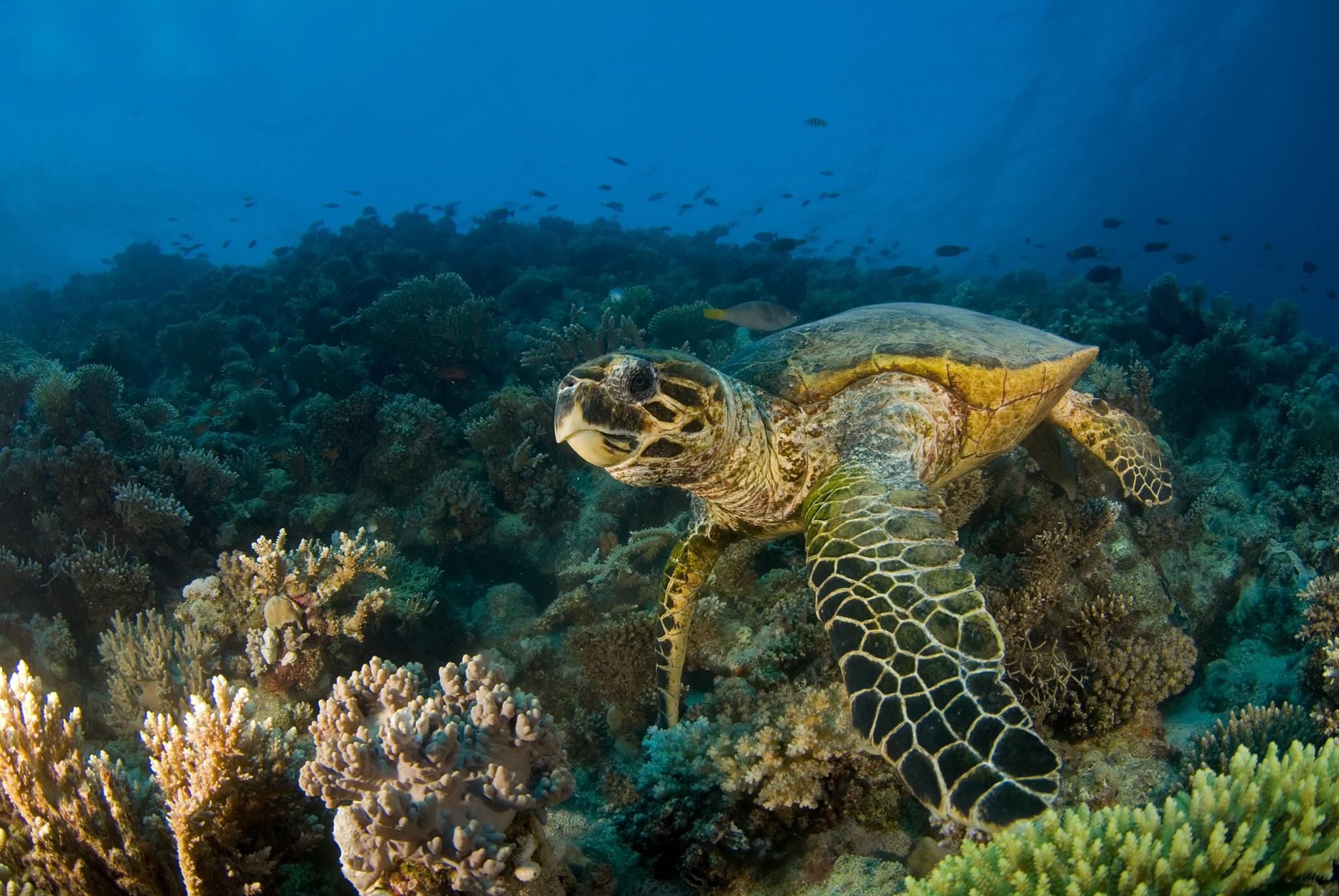 Hawksbill Sea Turtle by Ilan Ben Tov