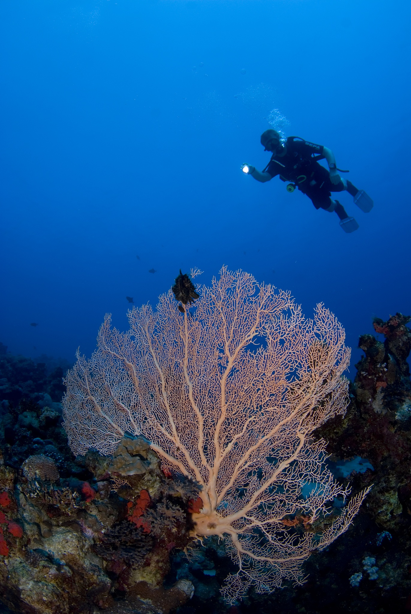 Diver and a Gorgonia by Ilan Ben Tov