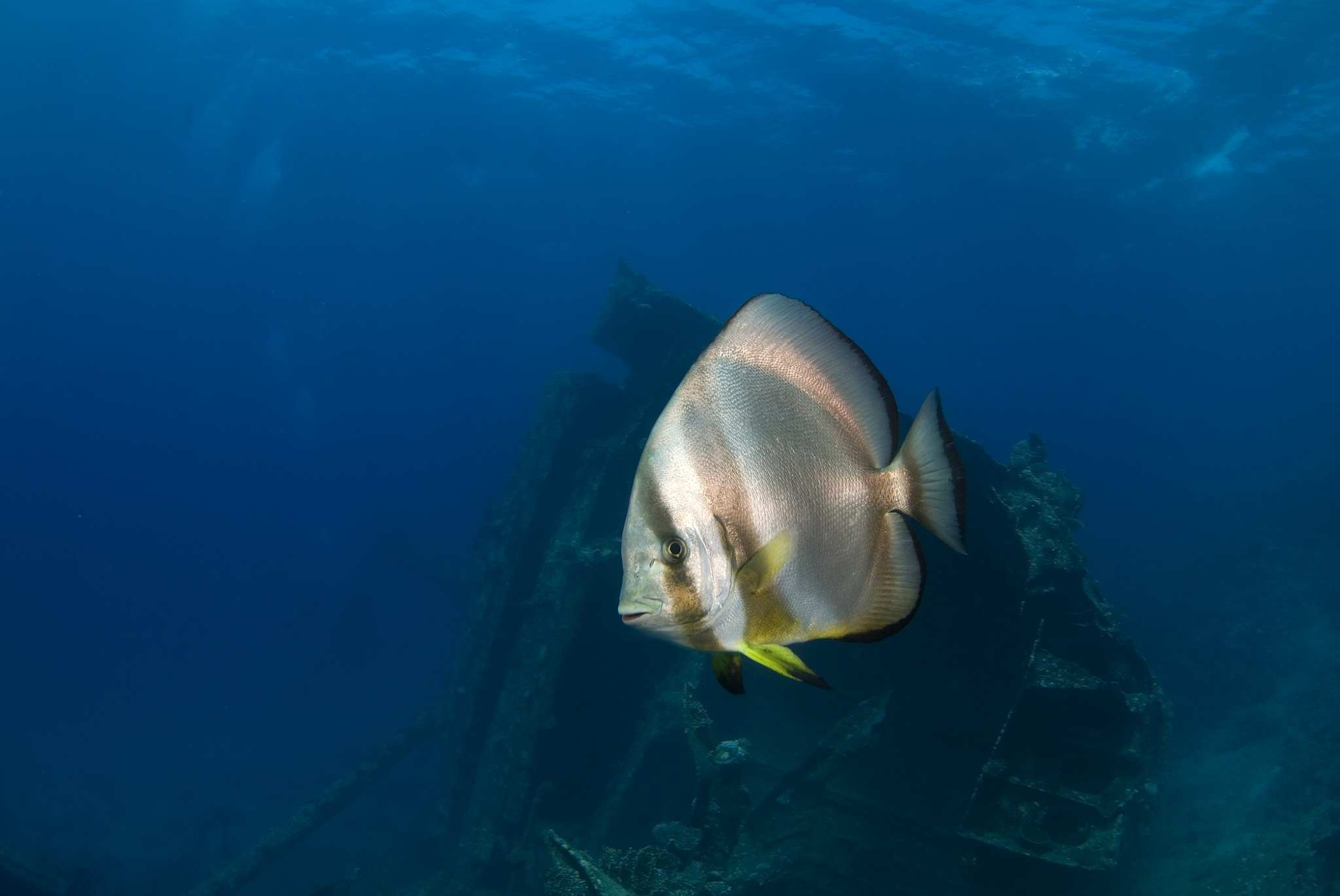 Batfish and The Gianis D by Ilan Ben Tov