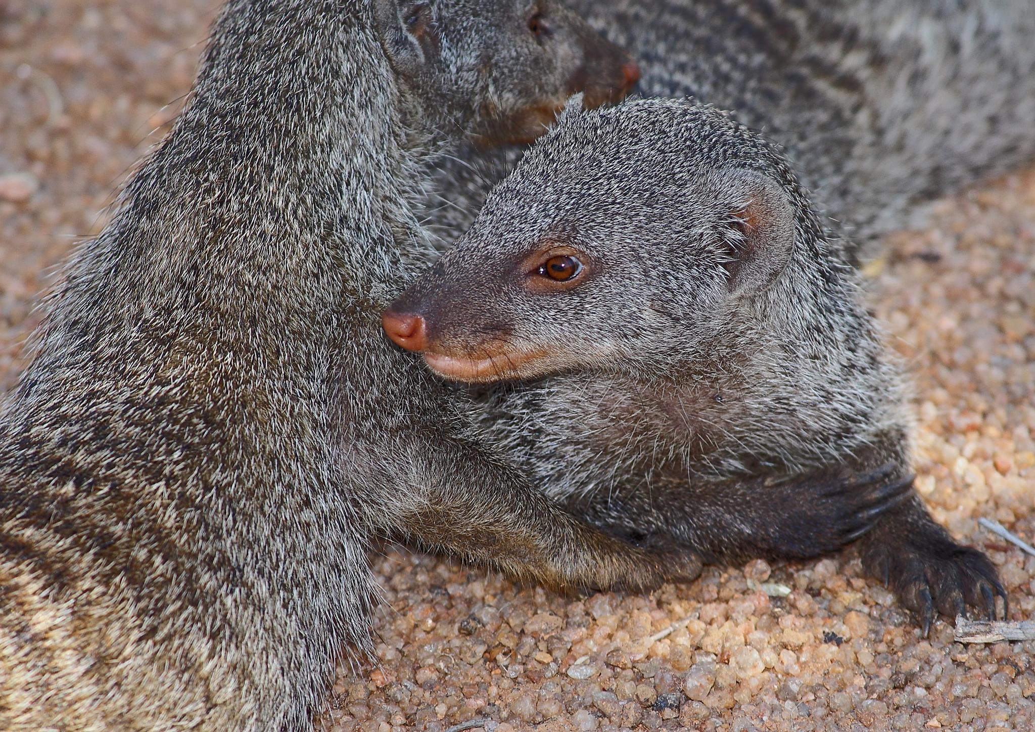 Striped Mongoose in Africa by Johnke
