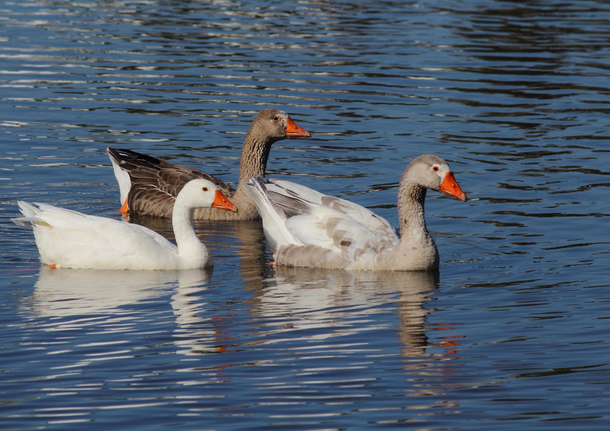 3 Ducks in a Row by Johnke