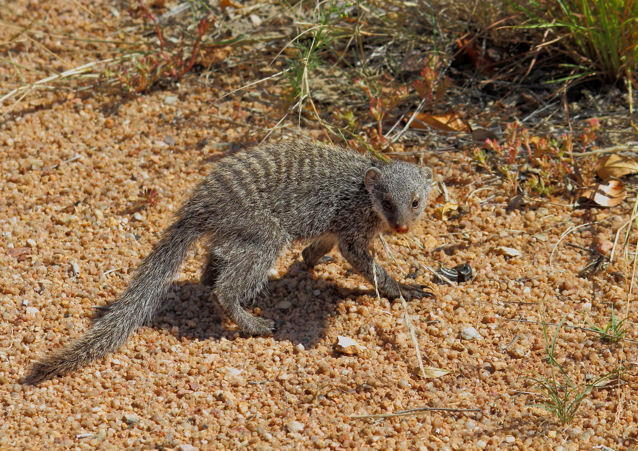 Baby Mongoose and Snake. by Johnke