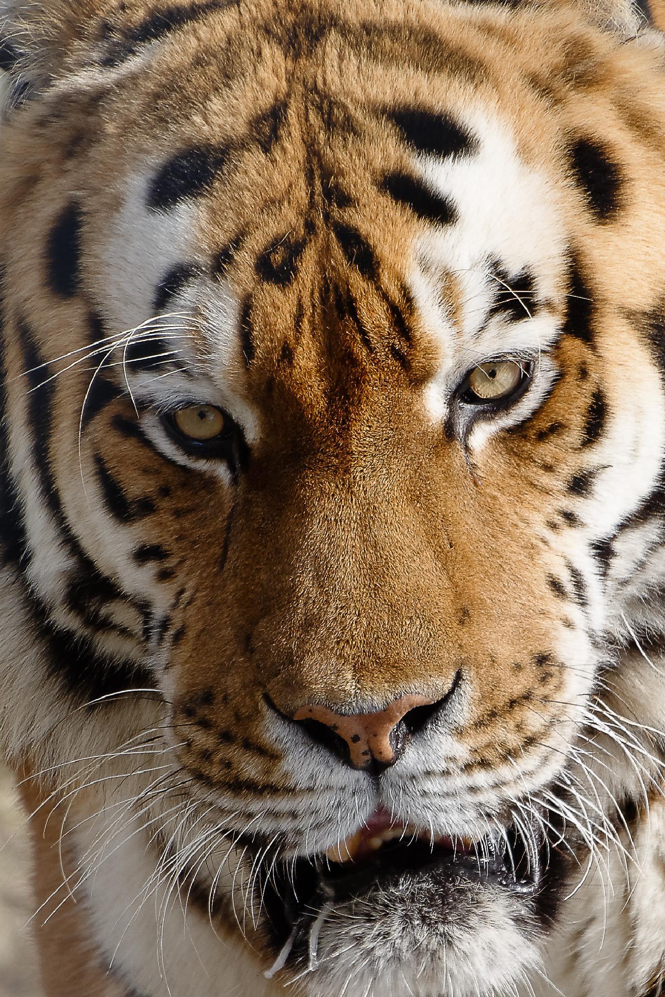 sadness tiger by jpmelard