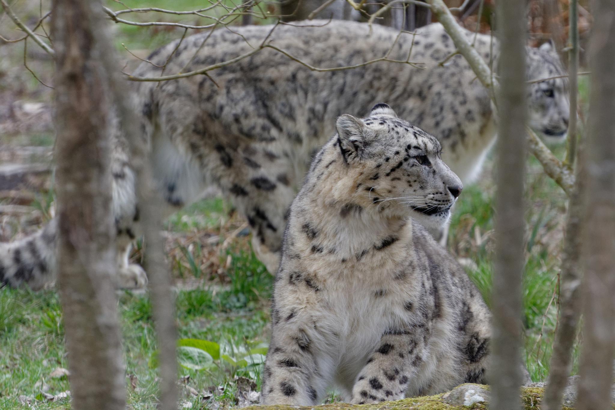 Snow leopard 1 by jpmelard