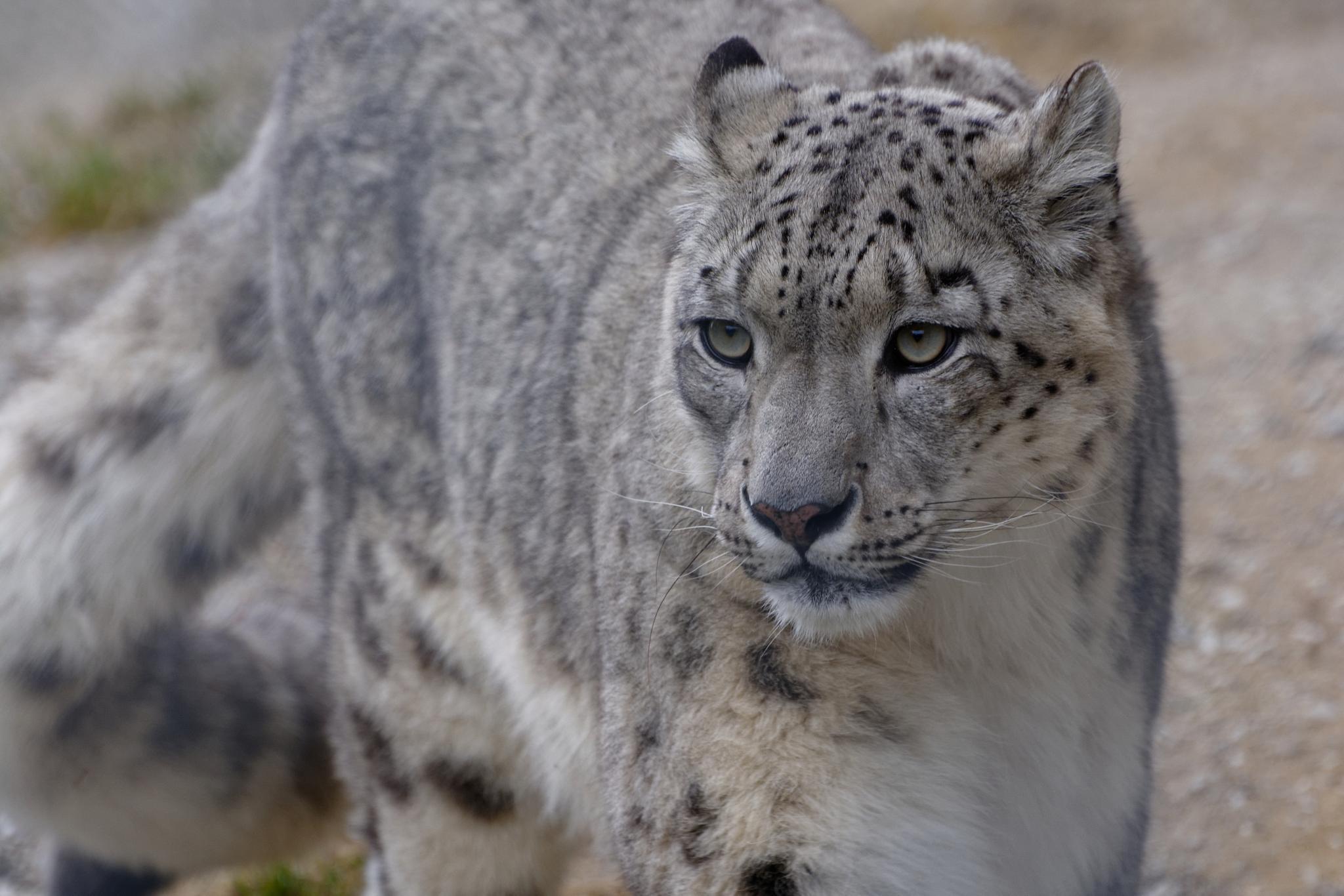 Snow leopard 2 by jpmelard