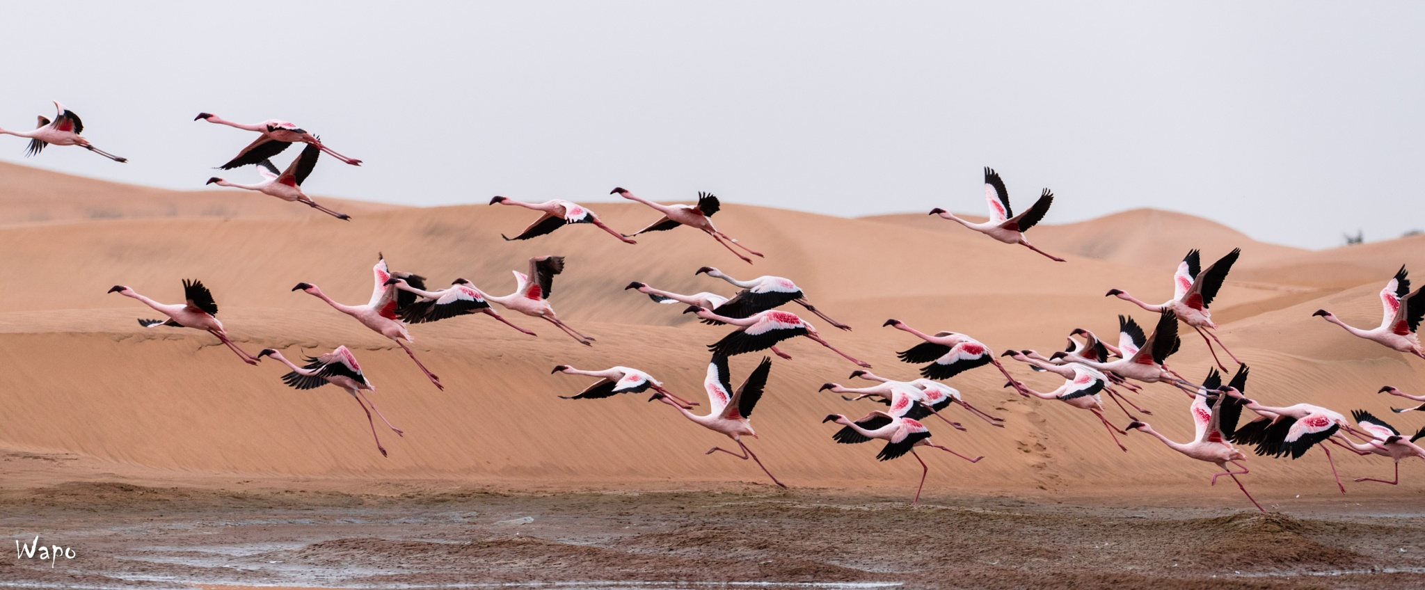 Flamingo's in the desert of Swakopmund by wardpoppe