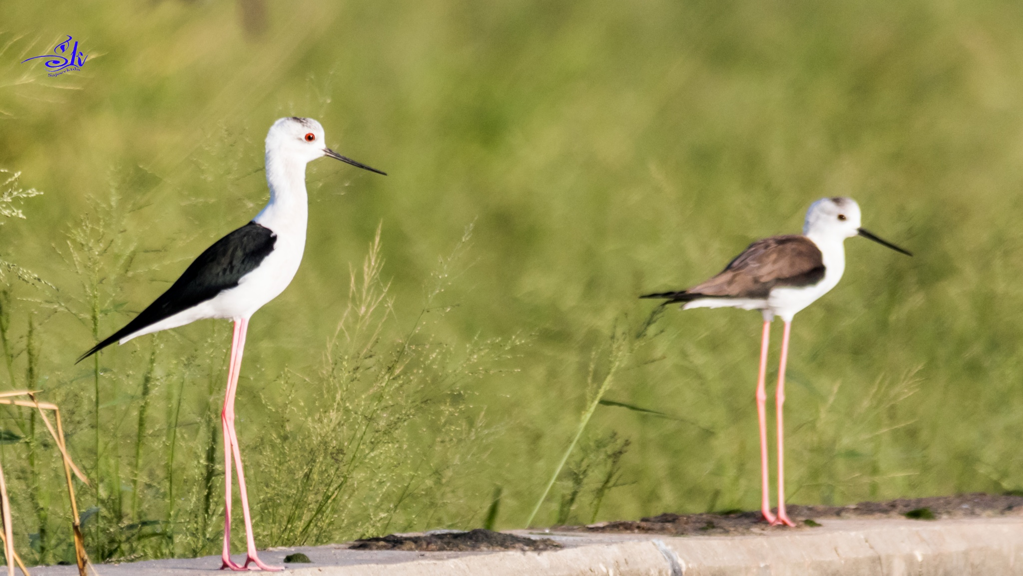 black winged stilt by Sajeev Kumar
