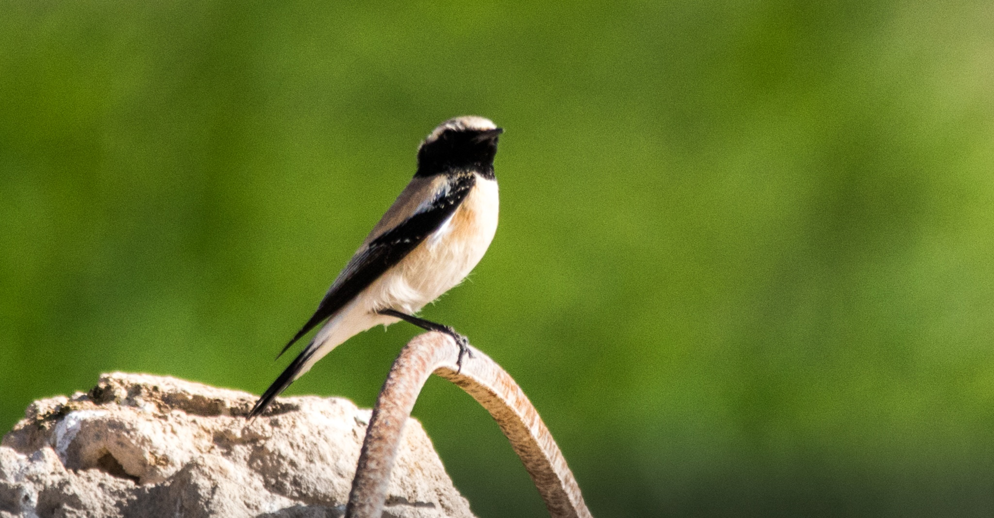 Black eared wheatear by Sajeev Kumar