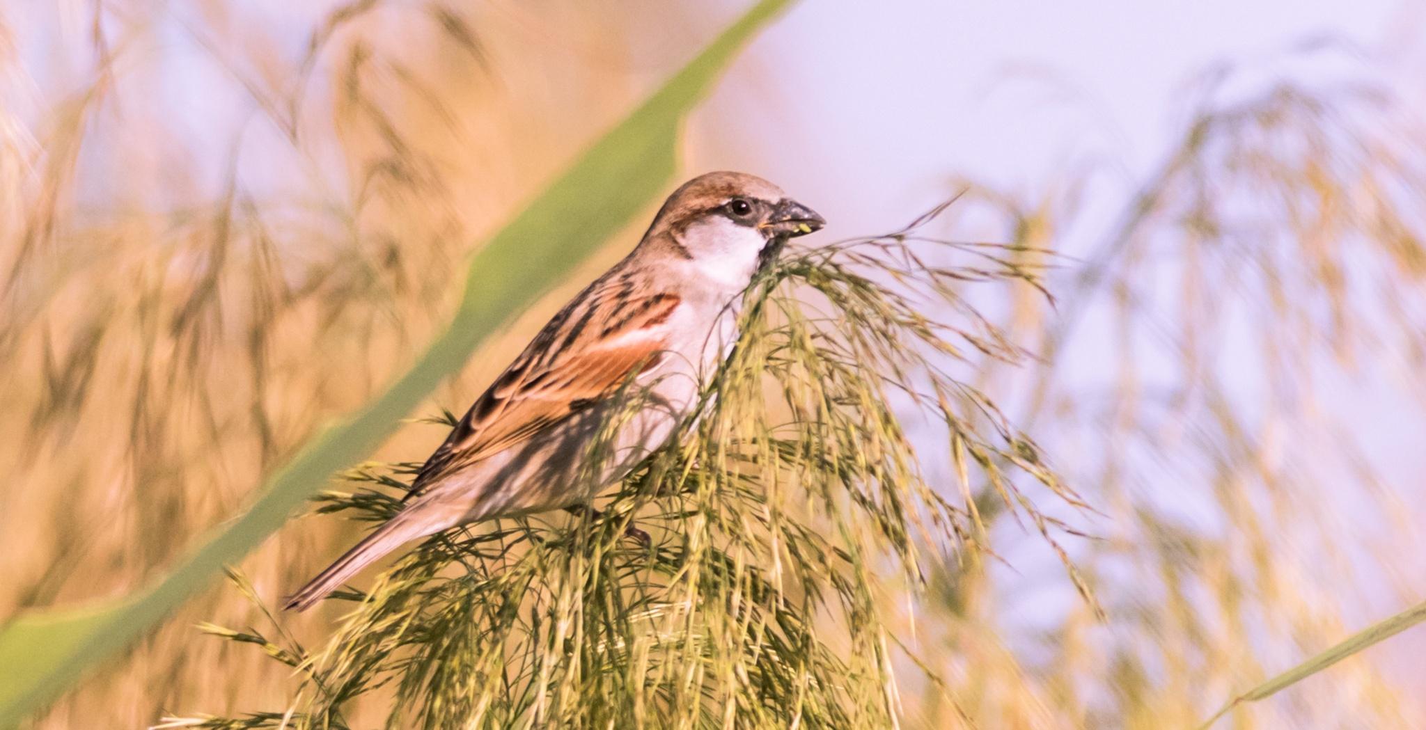 spanish sparrow male by Sajeev Kumar
