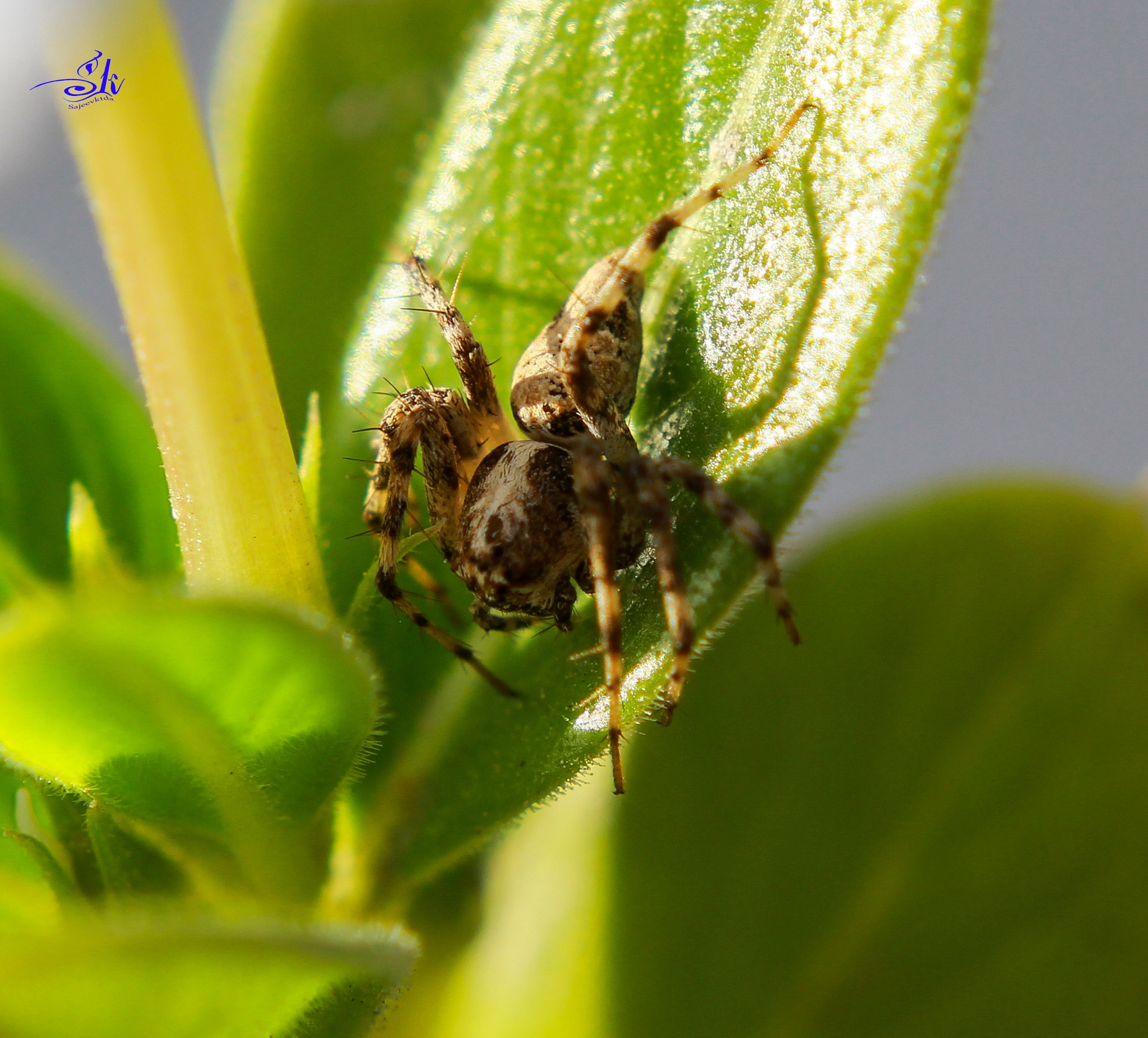 spider by Sajeev Kumar