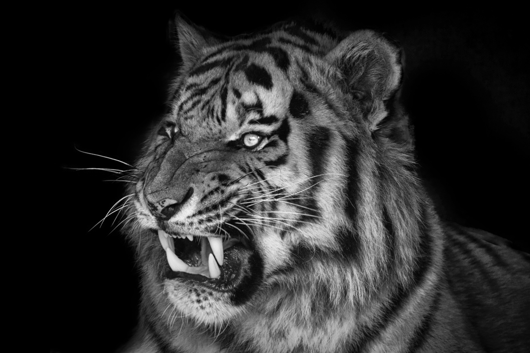 angry Tiger by Christoph Reiter