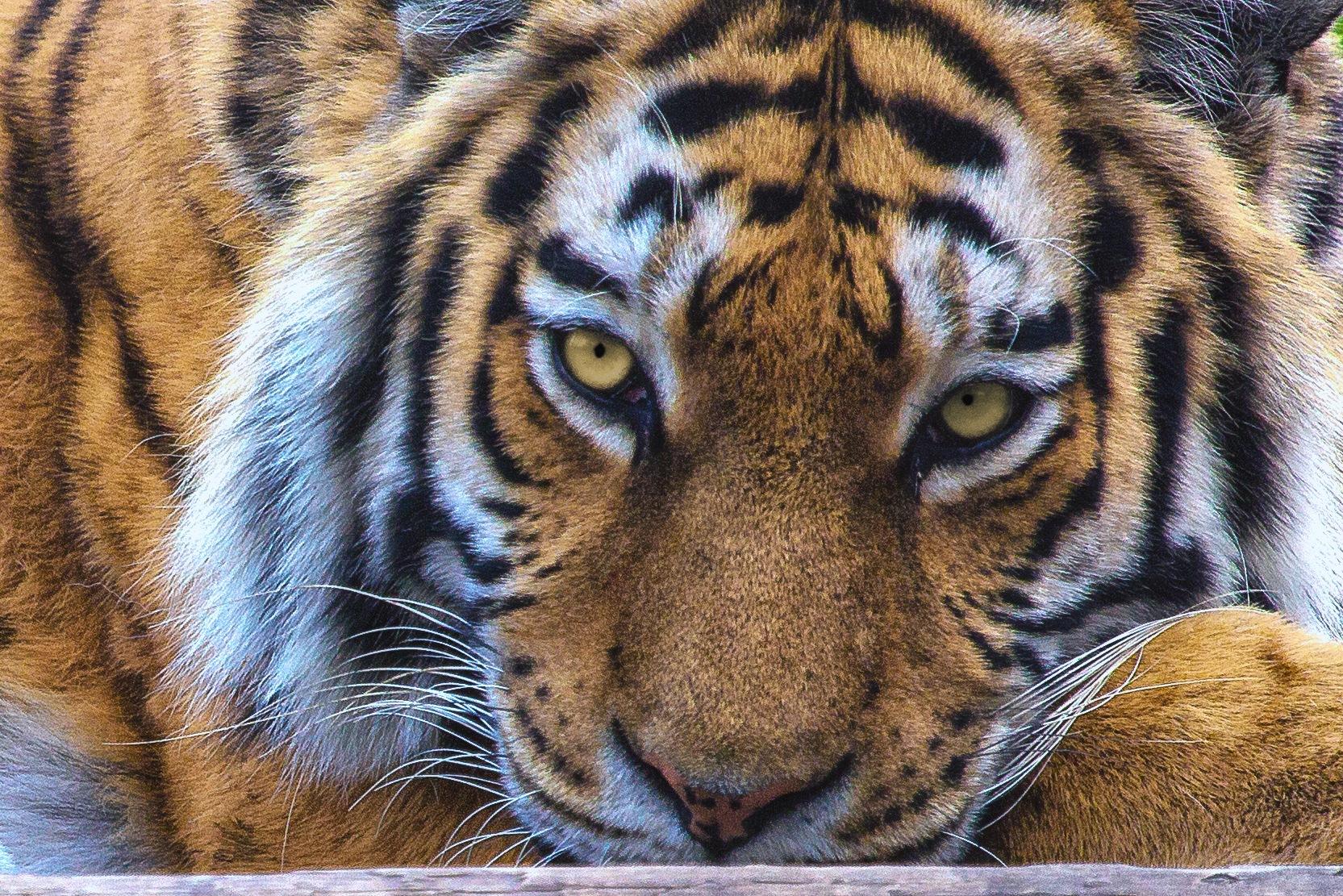 tiger by Christoph Reiter