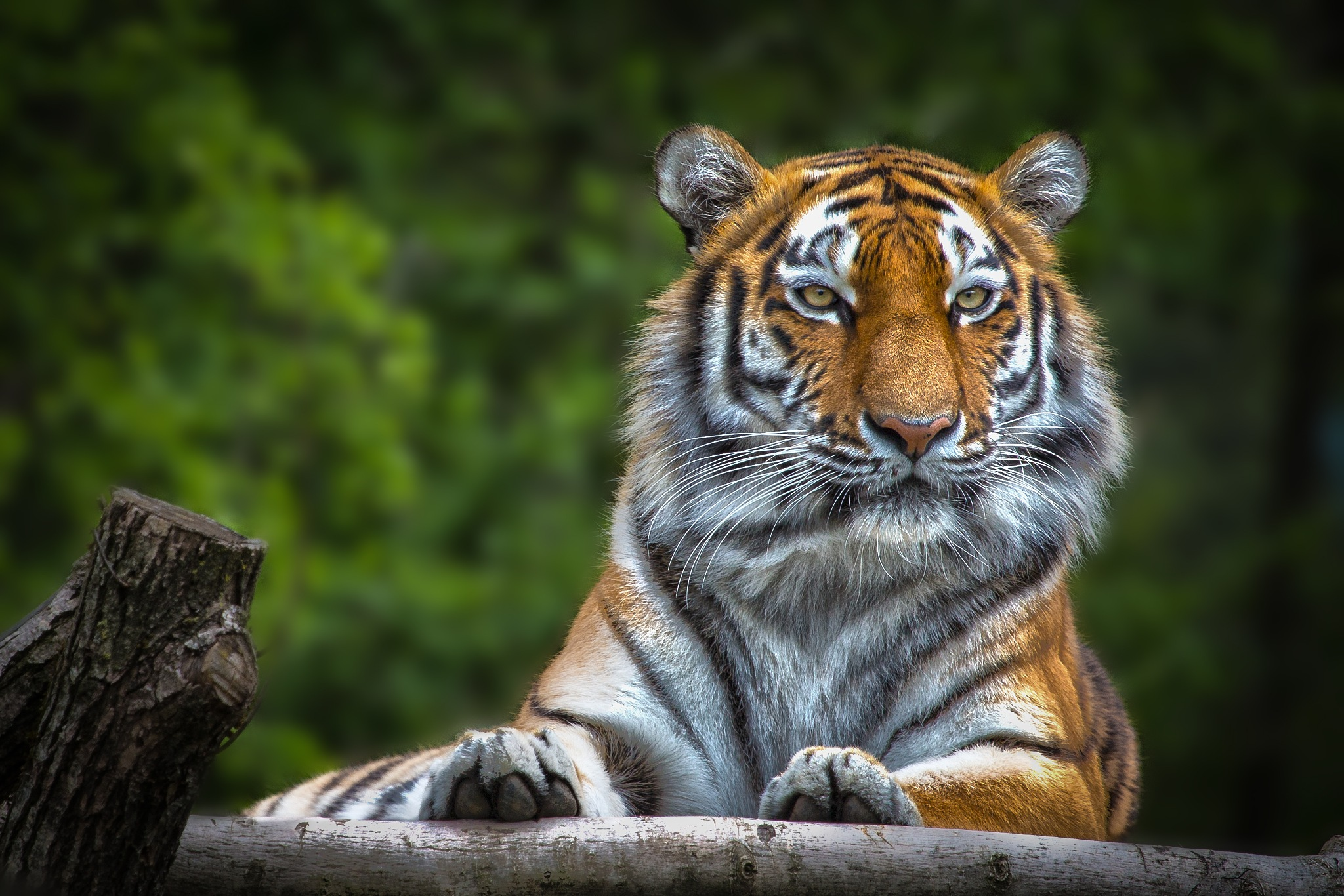 Tiger beauty by Christoph Reiter