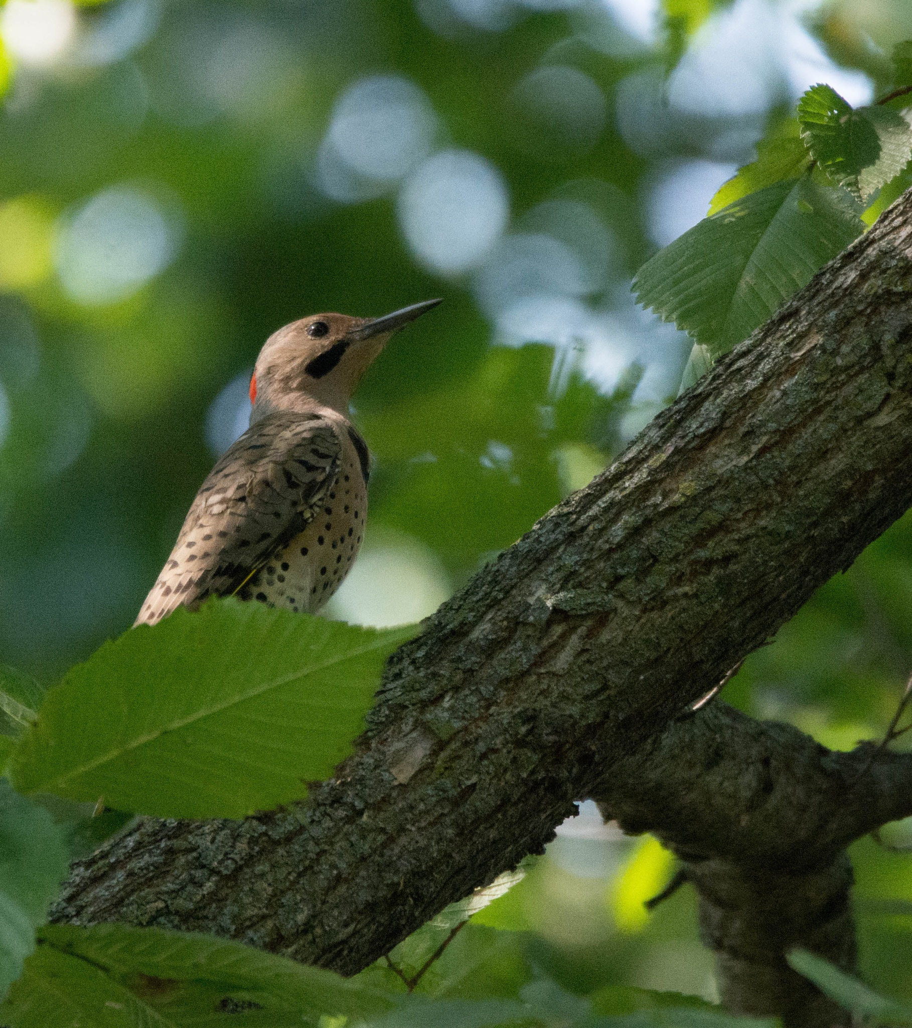 Northern Flicker--male by maniusia1