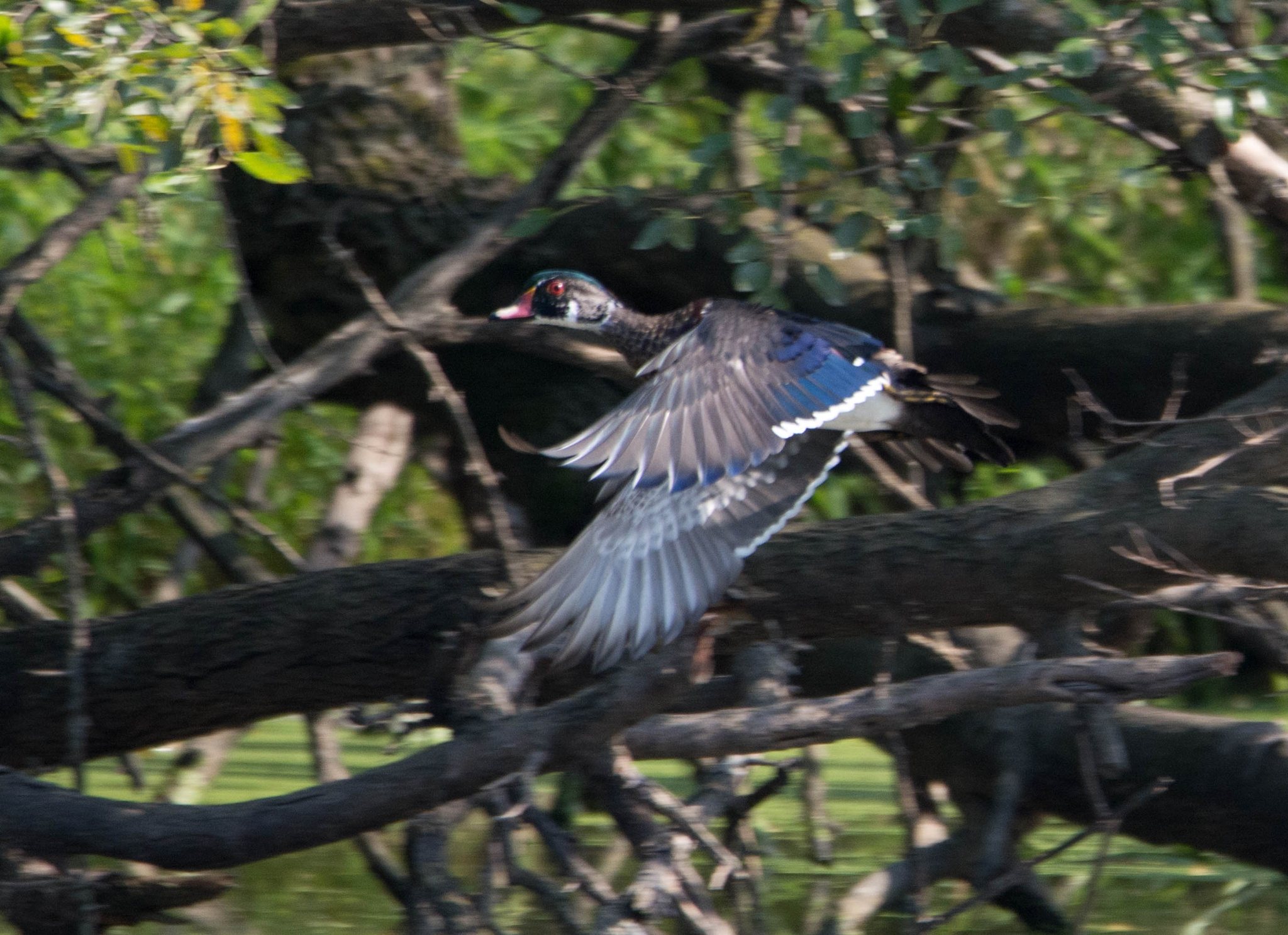 Wood duck by maniusia1