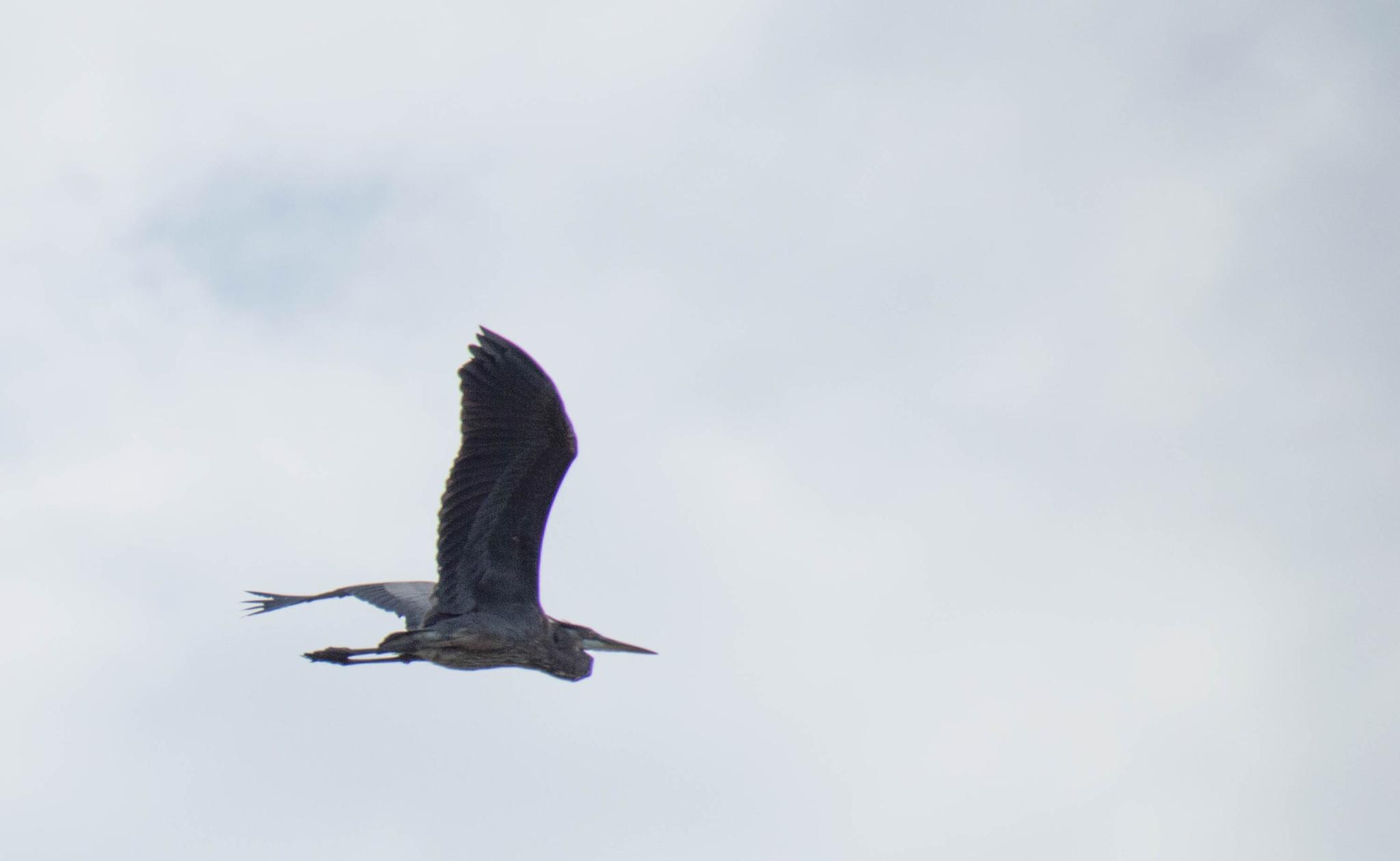 Heron by maniusia1