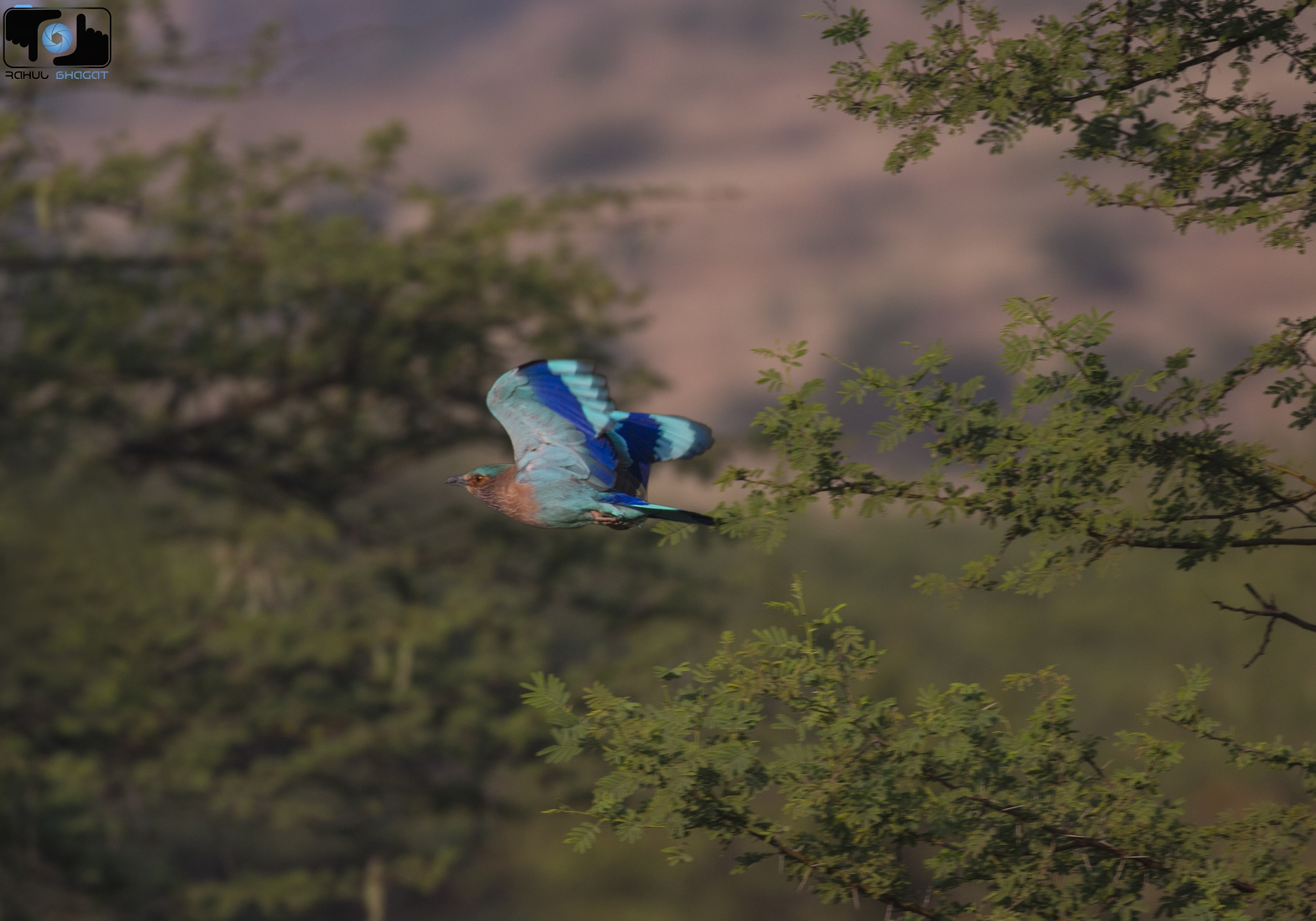 Indian Roller... by Rahul Bhagat