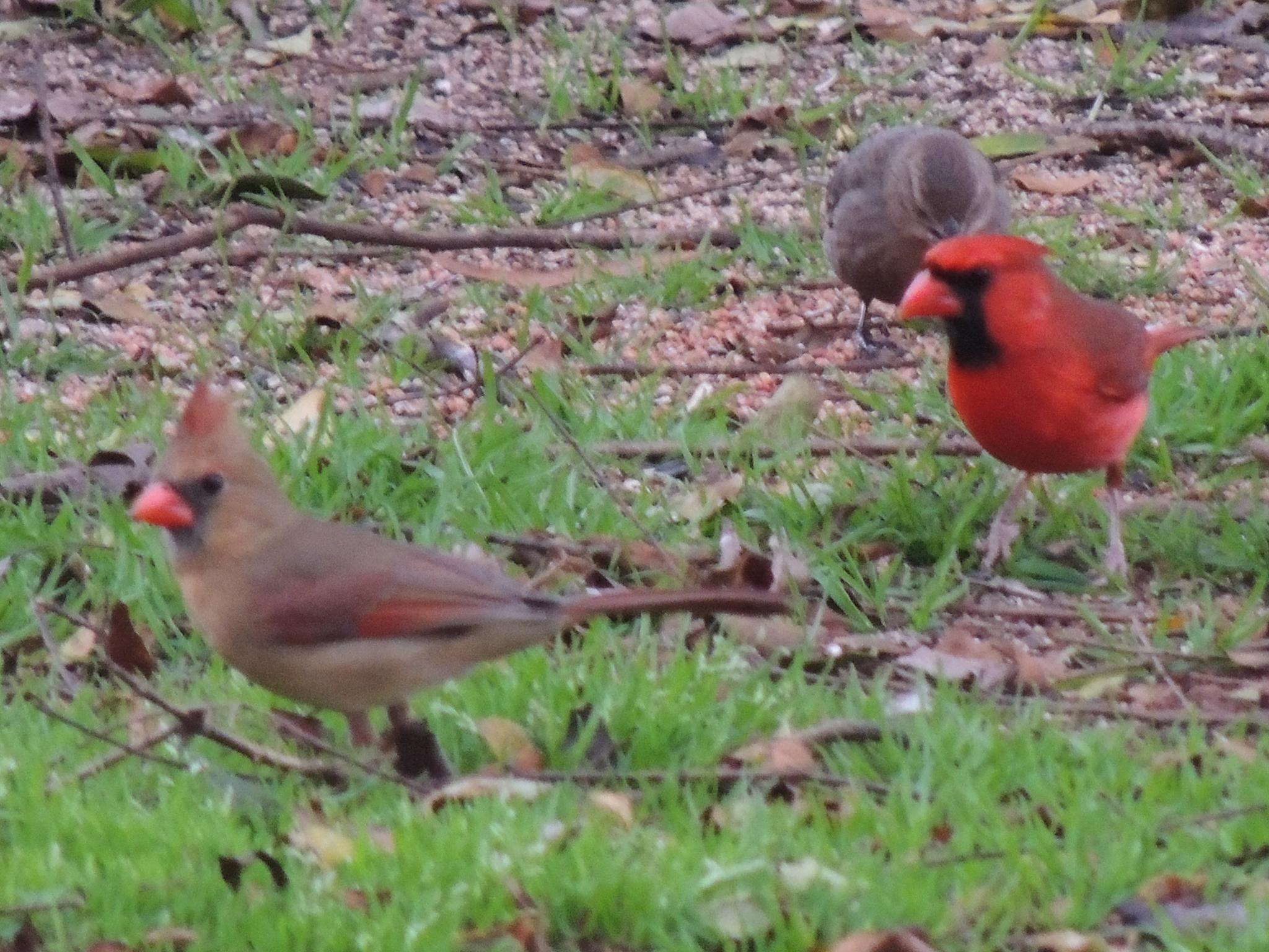 Cardinals Enjoying Dinner by Mike J Hargrave