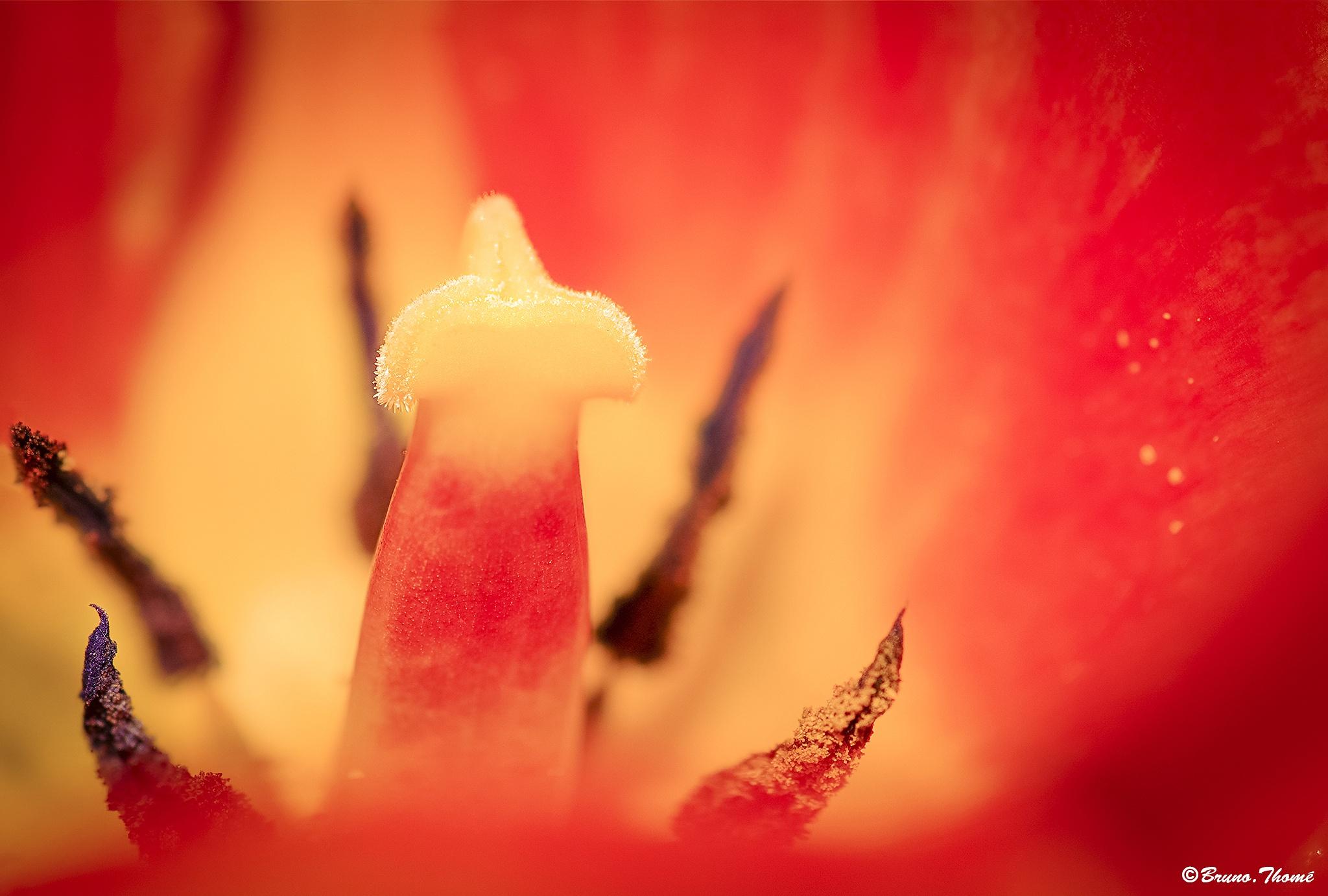 Tulip by Bruno Thomé